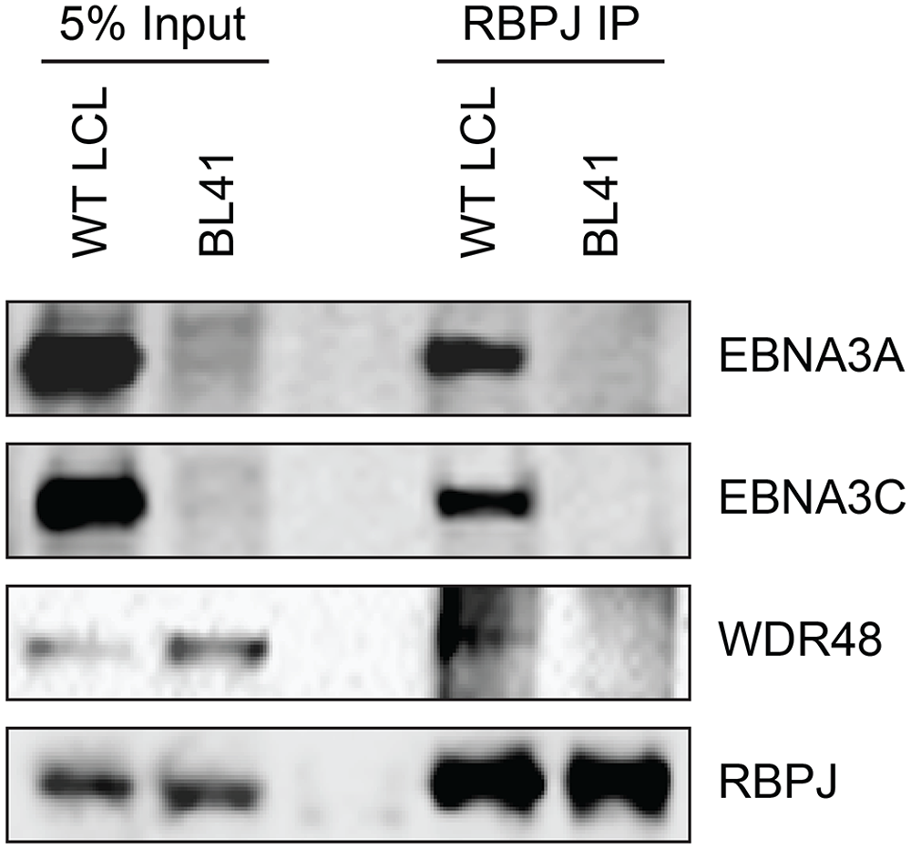 WDR48 coimmunoprecipitates with RBPJ in EBV infected cells.
