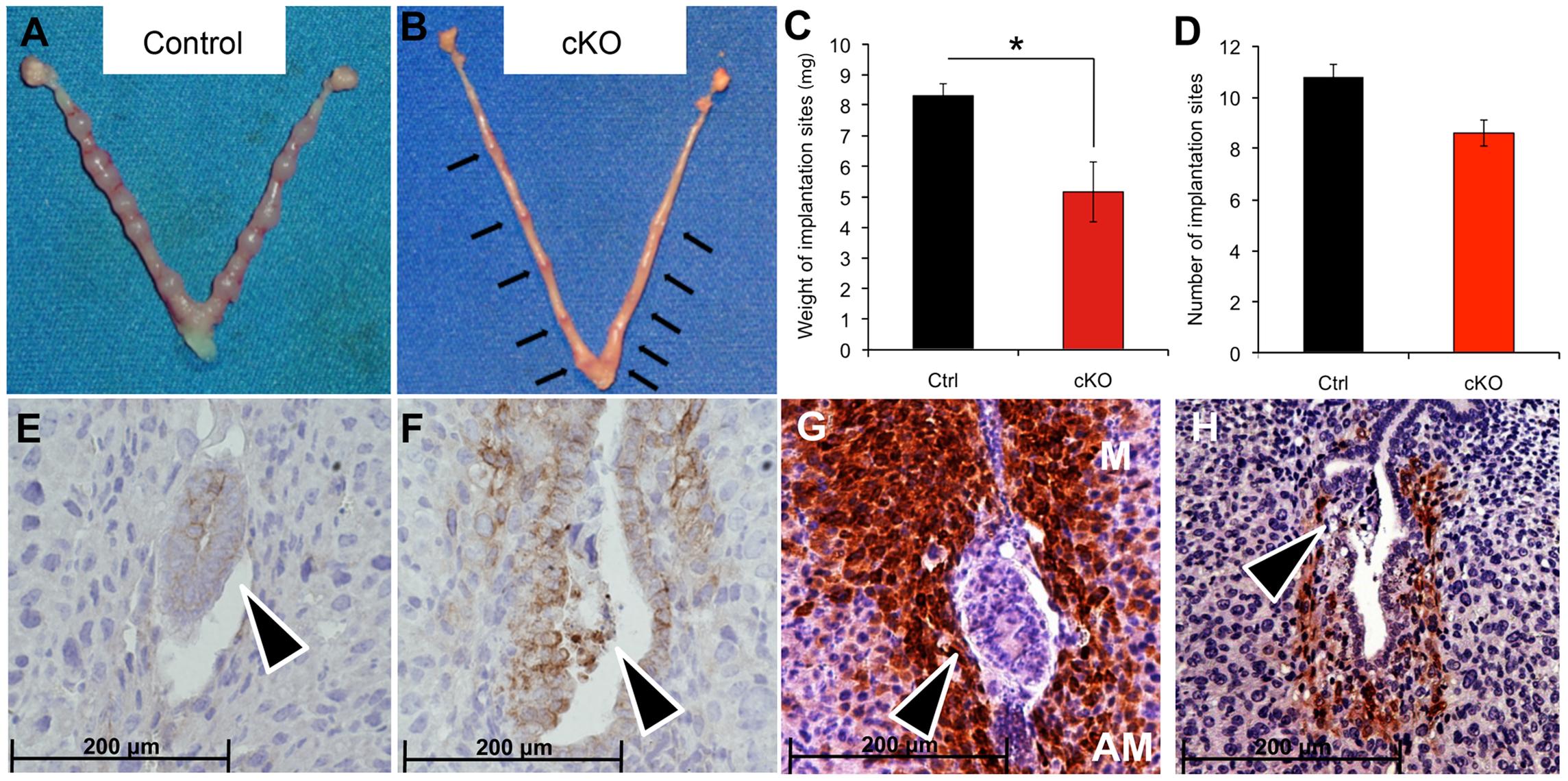 Delayed blastocyst invasion in cKO mice at 5.5 dpc.
