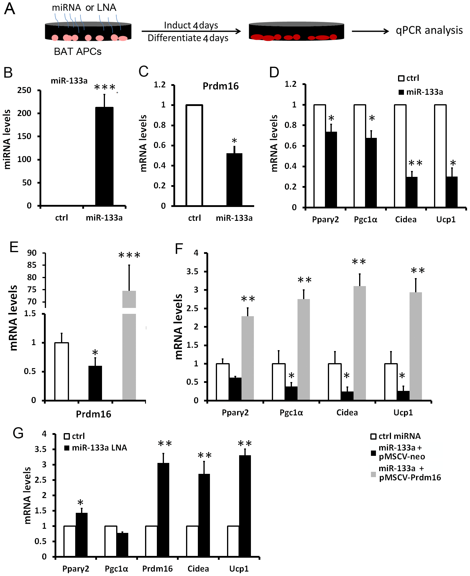 miR-133a inhibits brown adipocyte biogenesis of BAT progenitors.