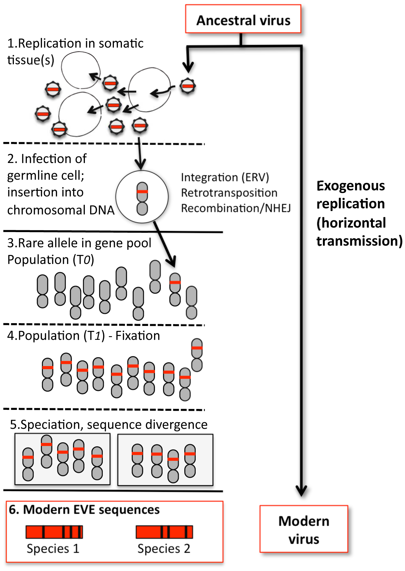 Formation of a hypothetical EVE and relationship to modern viruses.