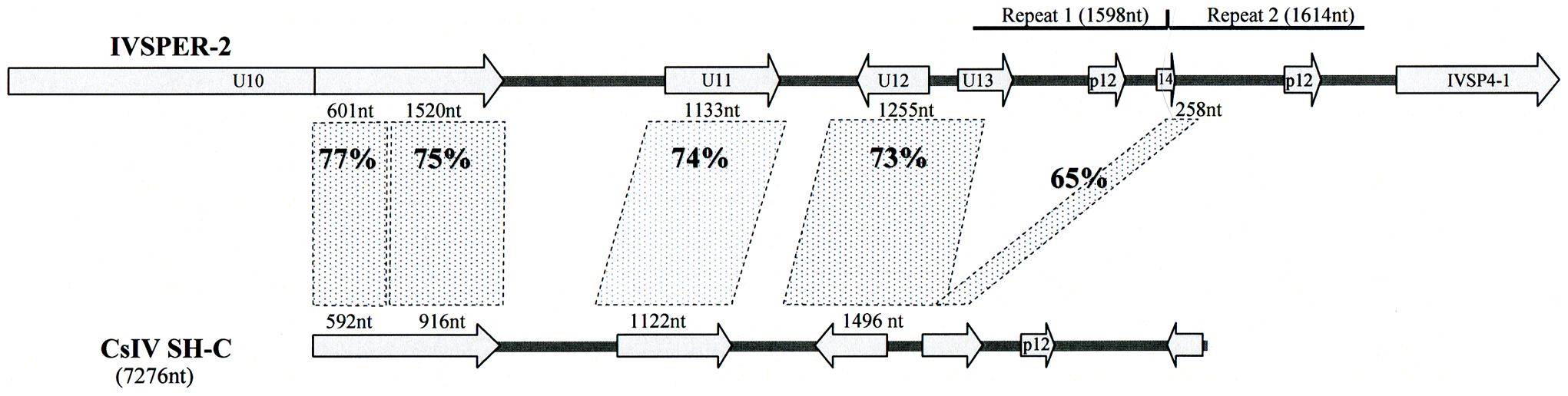 Schematic representation of the region in <i>H. didymator</i> IVSPER-2 displaying similarity to <i>Campoletis sonorensis</i> IV segment SH-C (NCBI Reference: NC_007986.1).