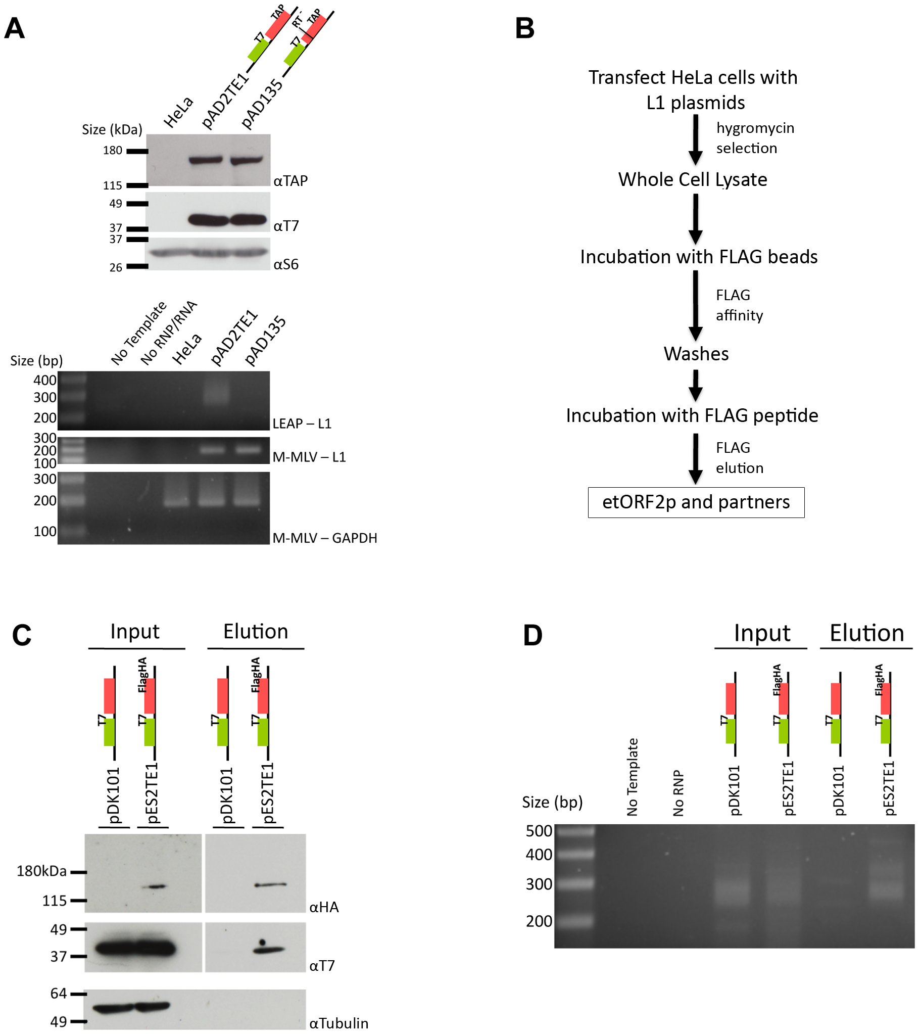 Biochemical identification of a basal L1 RNP complex.