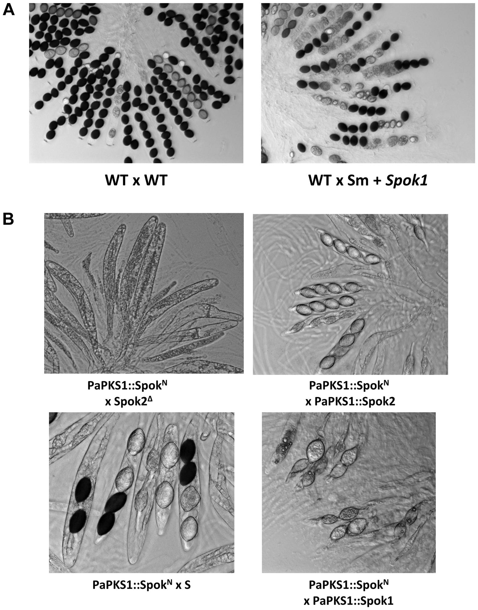 Heterologous expression of <i>Spok</i> genes.
