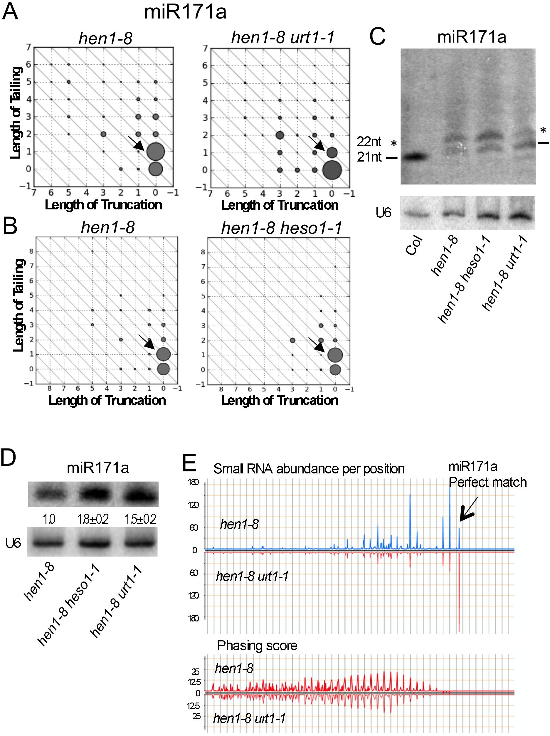 Tailing of miR171a in <i>hen1</i> by URT1 triggers phasiRNA biogenesis.