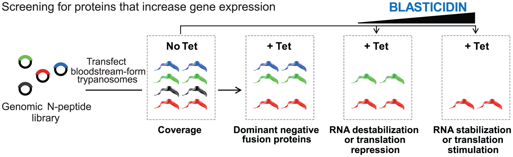 Schematic of the overexpression library and the growth conditions analyzed.