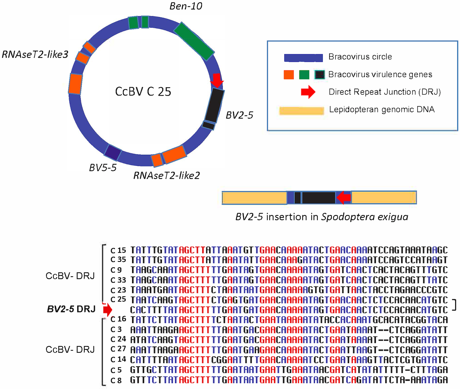 Regulatory sequence involved in bracovirus circle production retained in a bracovirus insertion in <i>Spodoptera exigua</i> genome.