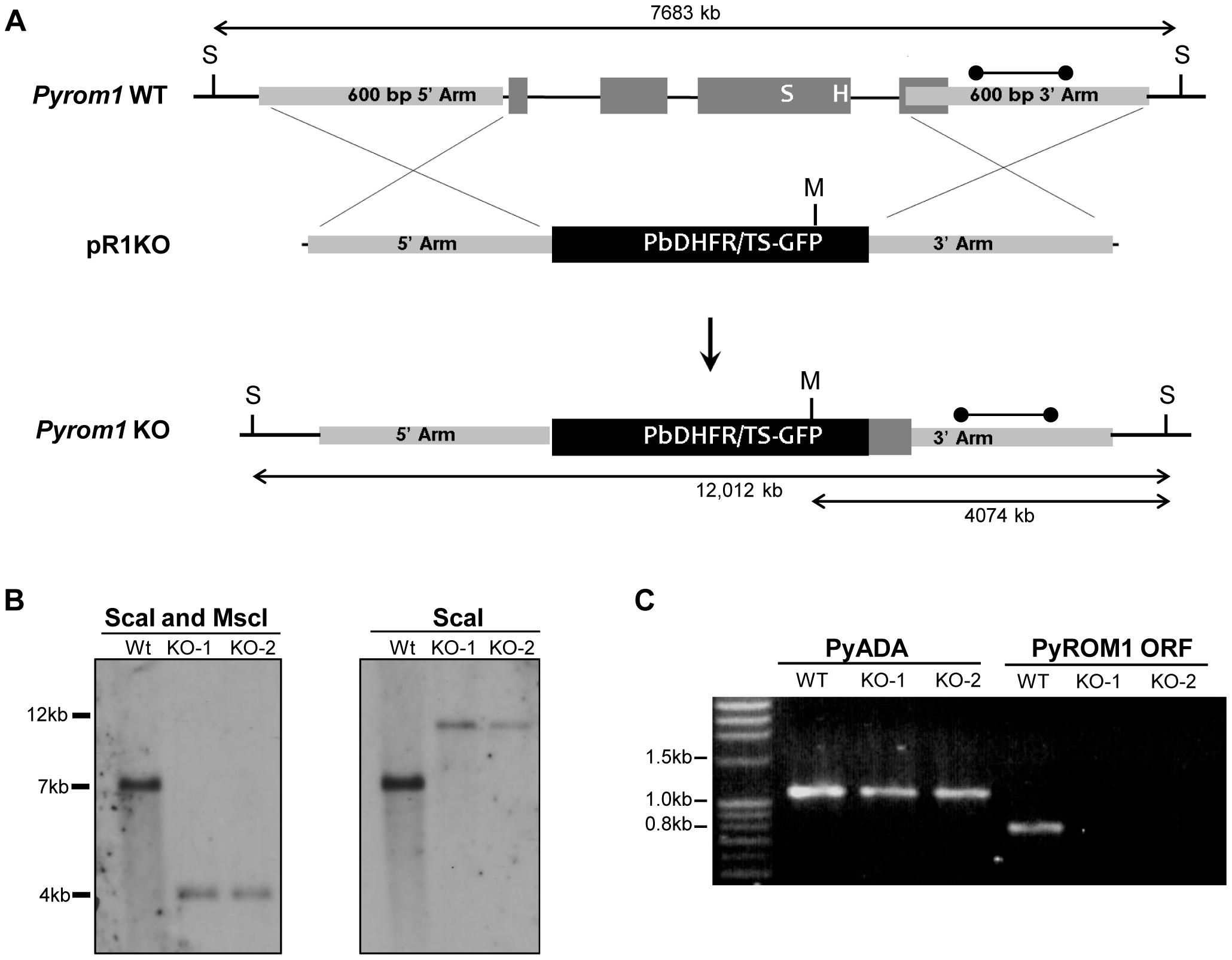 Generation of <i>pyrom1(-)</i> parasites by allelic exchange.