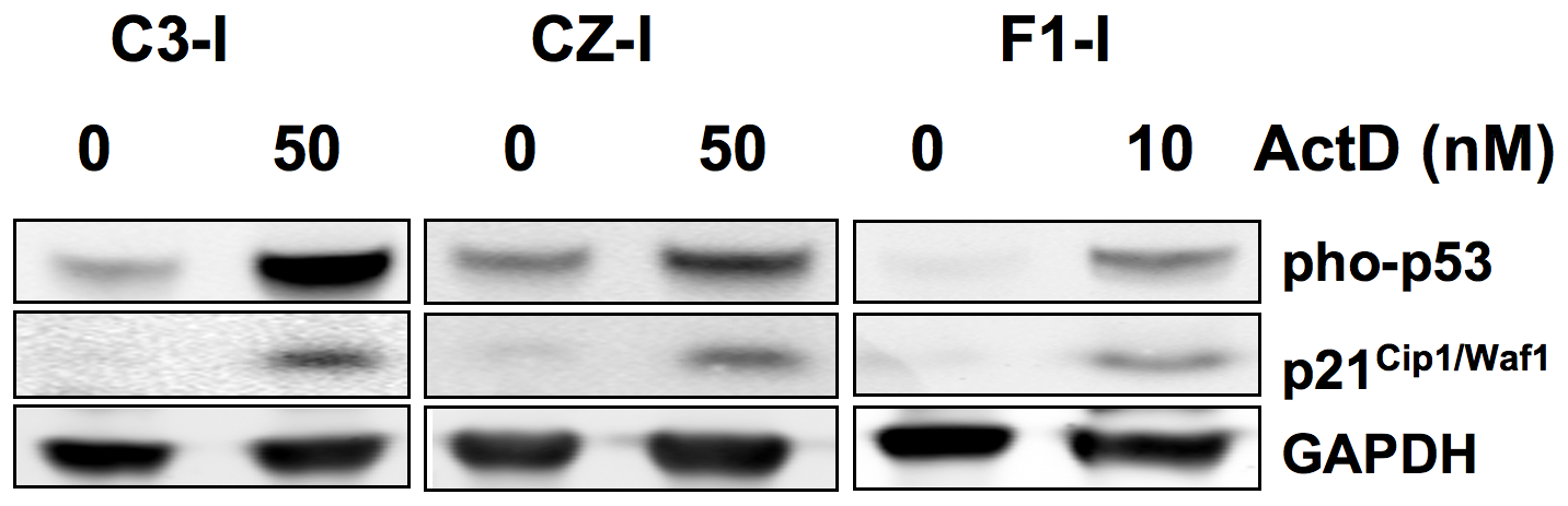 Induction of p53 and p21<sup>Cip1/Waf1</sup> in a DNA damage response in metastatic and non-metastatic bone tumor cell lines.