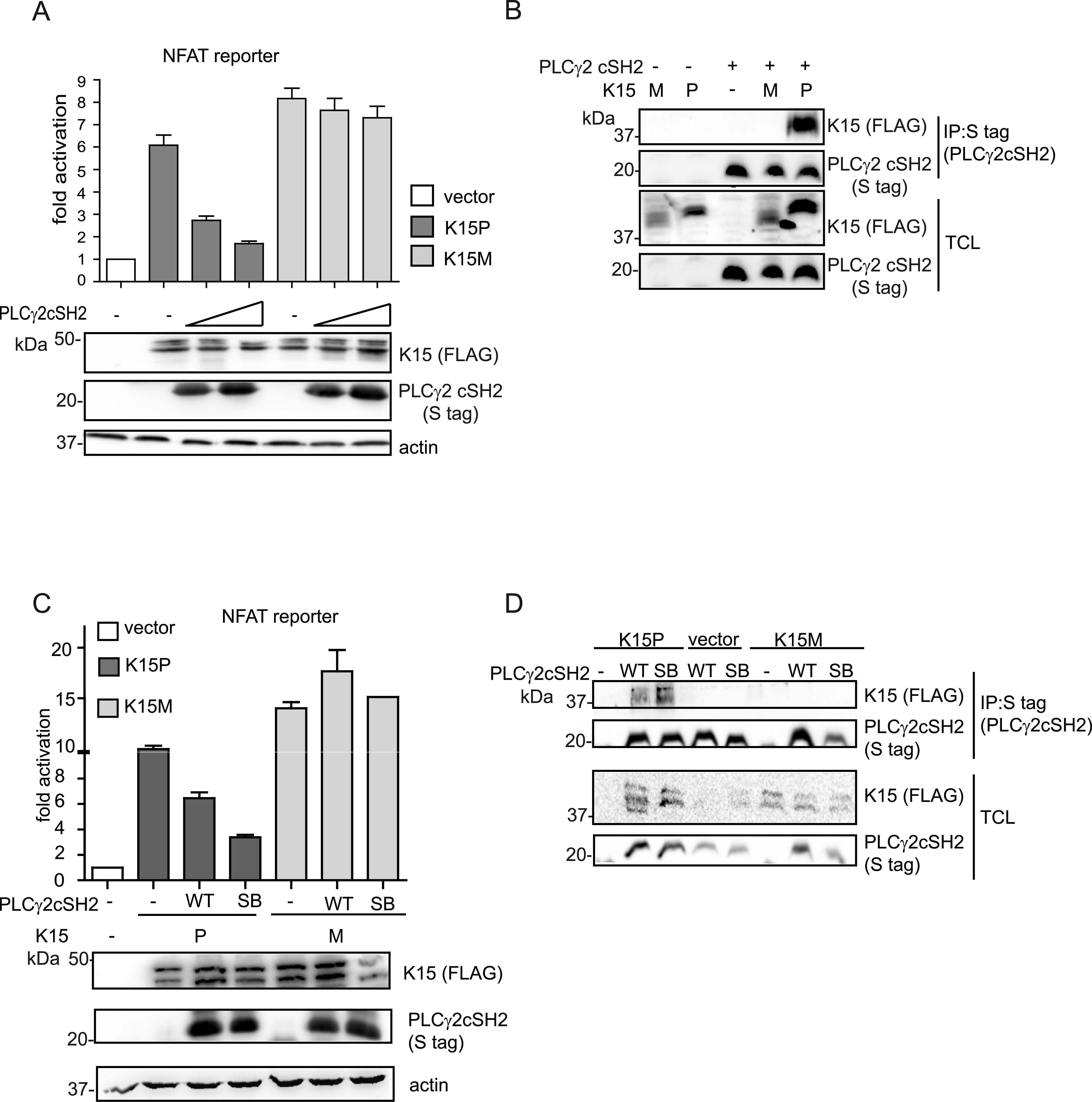 The isolated PLCγ2 cSH2 domain does not interact with K15M and has no effect on the activation of an NFAT promoter by K15M.