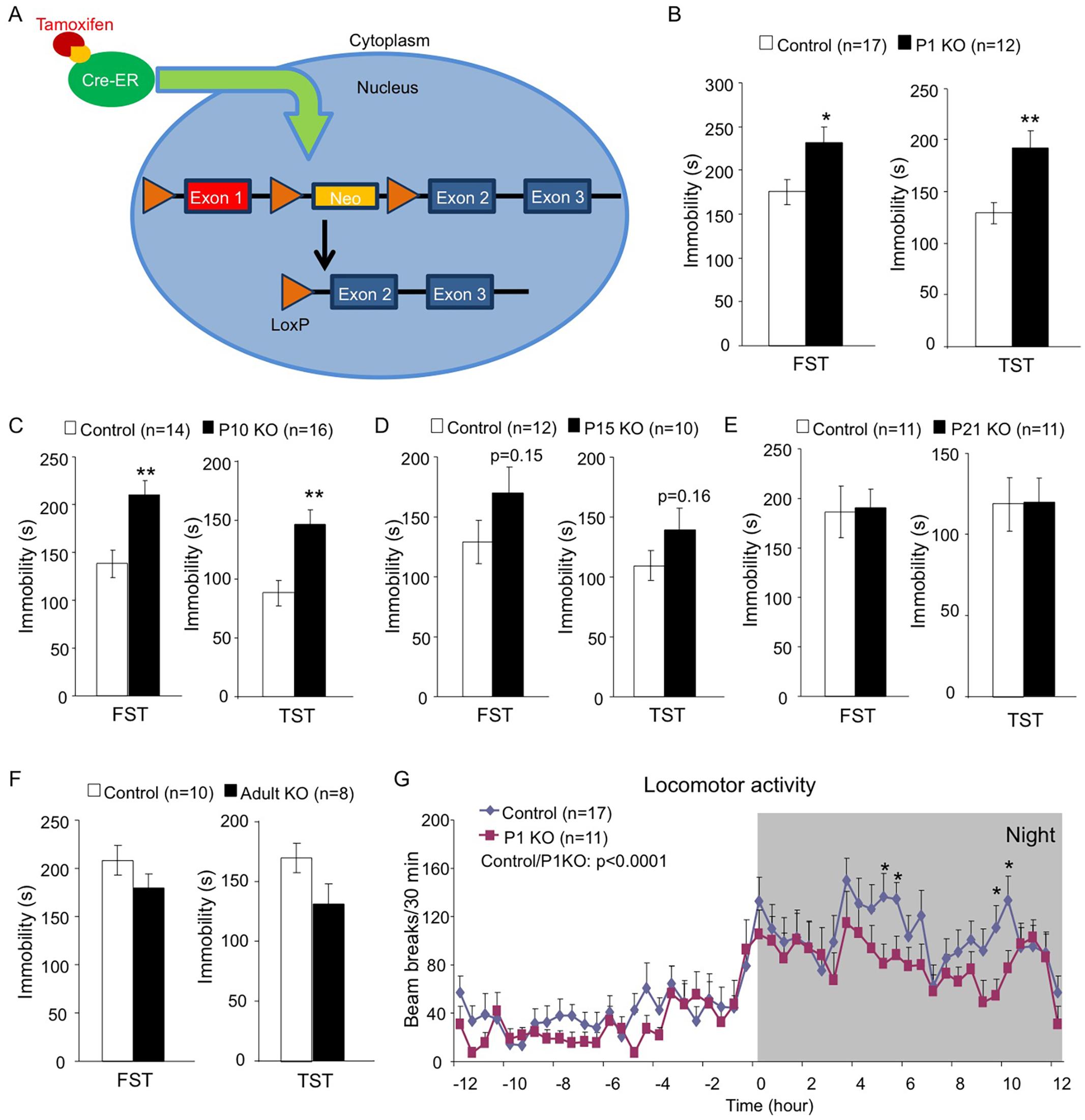 Early postnatal depletion of Hap1 leads to depressive-like behavior in adult mice.