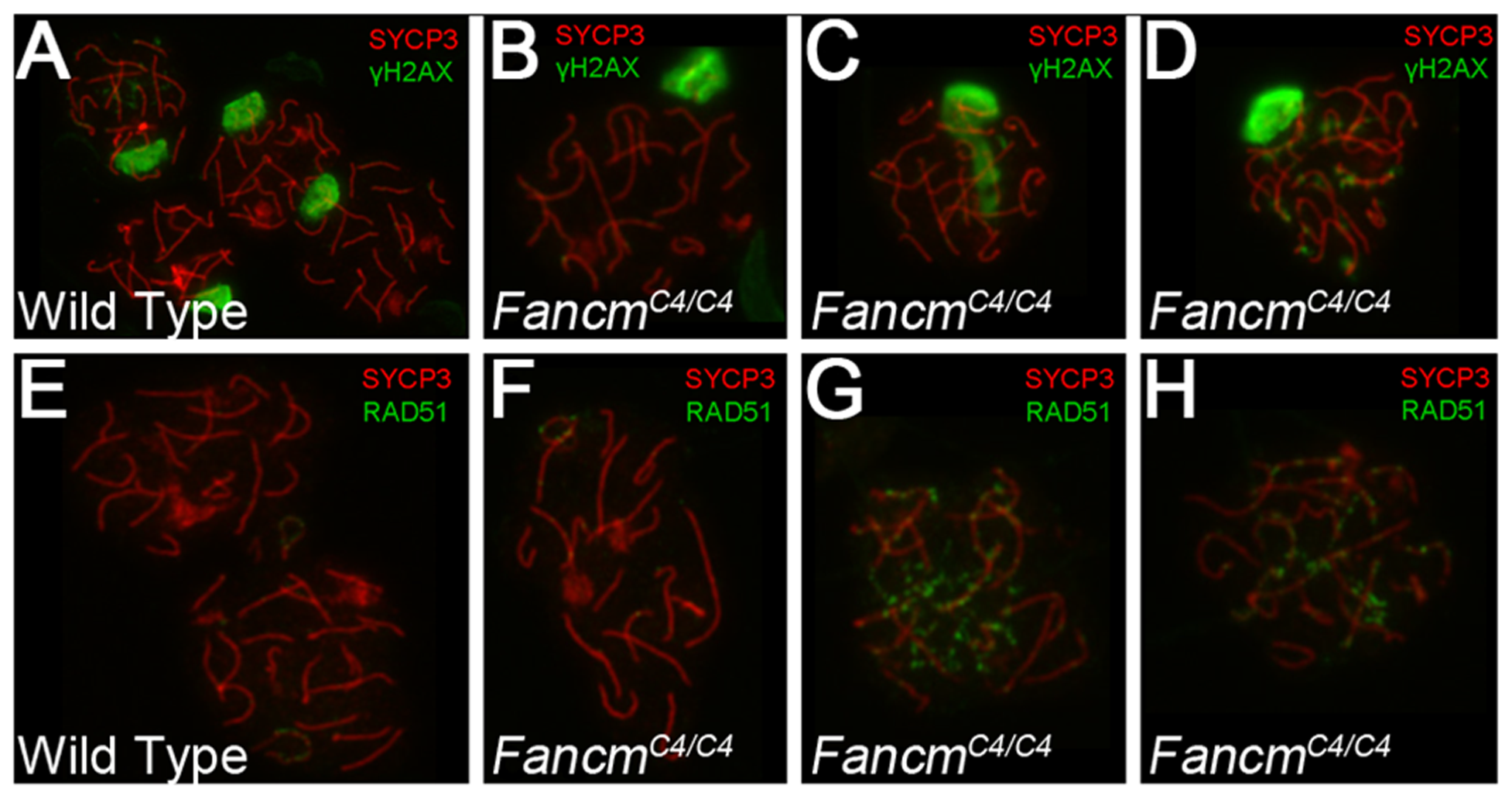 Meiotic defects in <i>Chaos4</i> mutant spermatocytes.