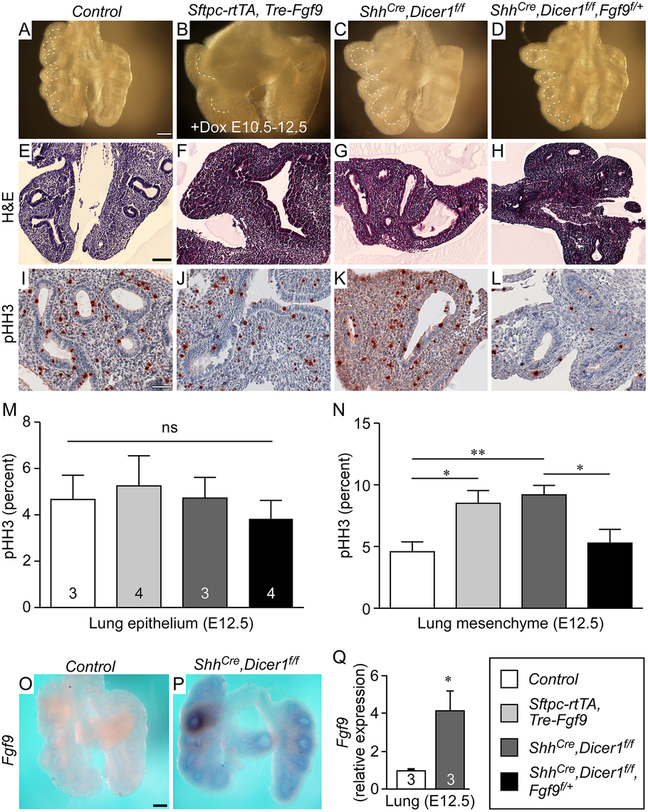 Dicer1 regulation of lung epithelial development requires <i>Fgf9</i>.