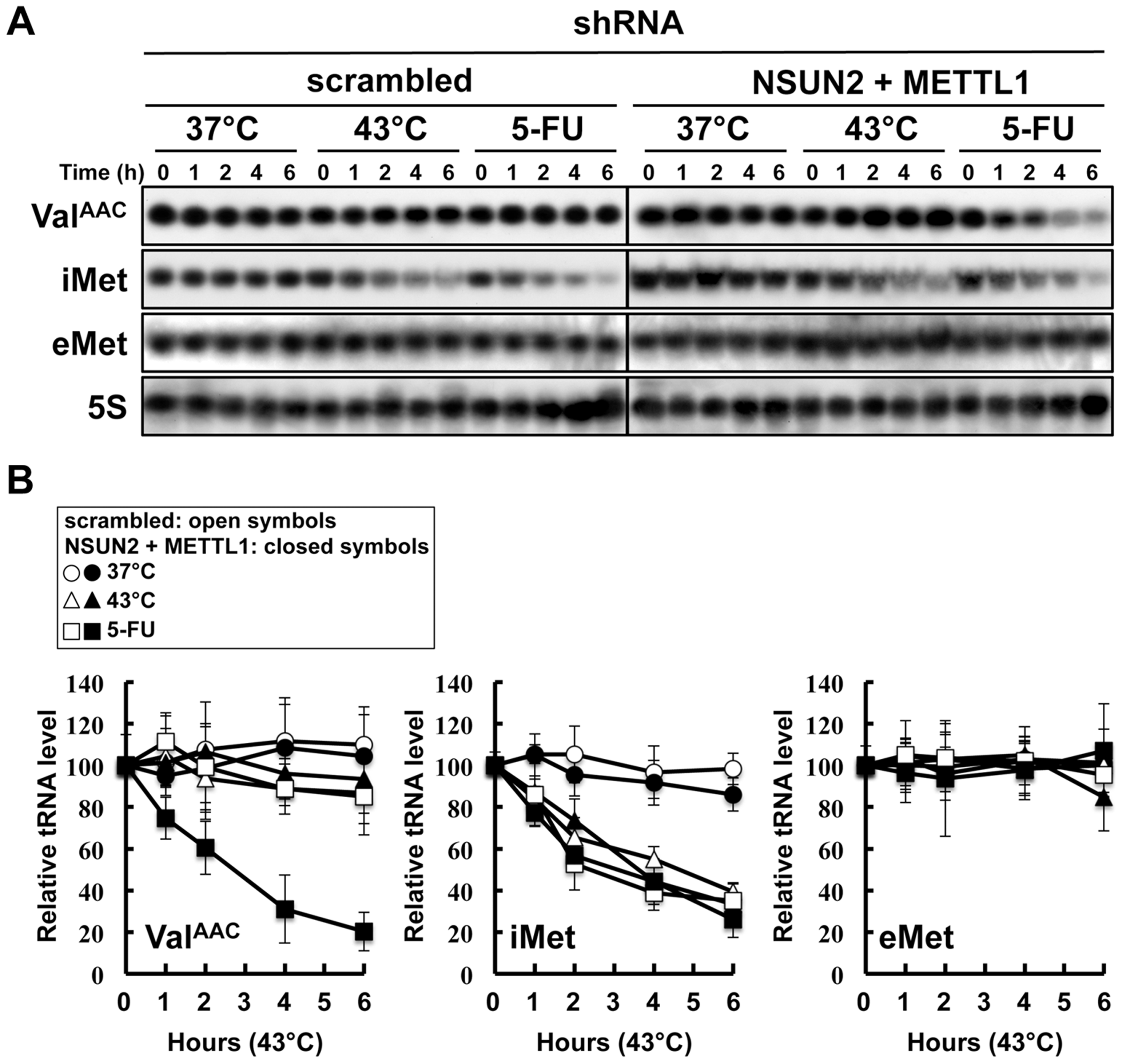 Degradation of tRNAs in HeLa cells treated with heat stress or 5-FU.