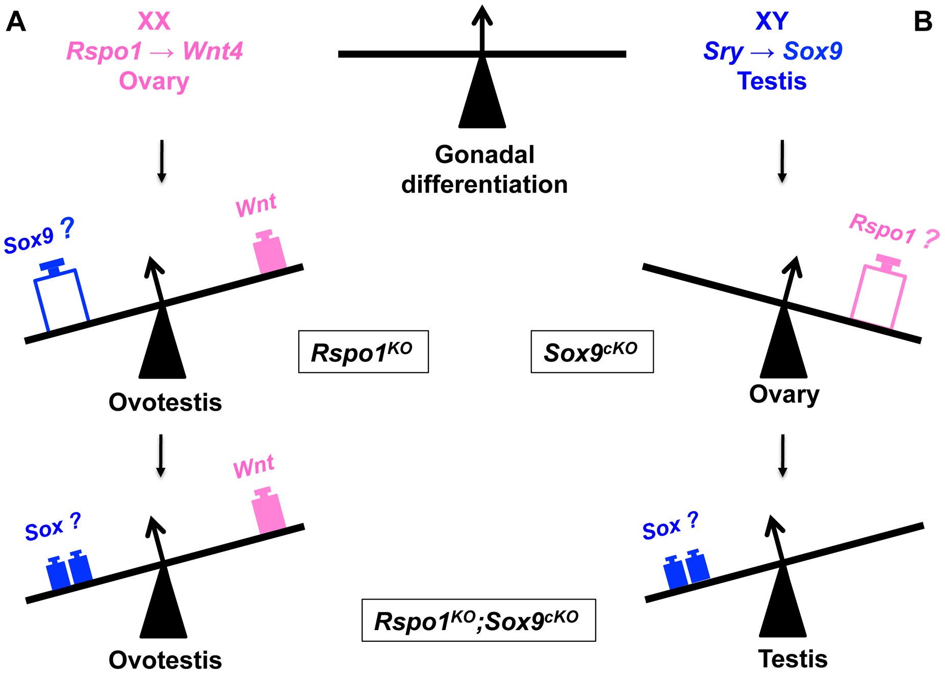 Opposing function of SOX and RSPO1 signaling in the fate of the gonad.