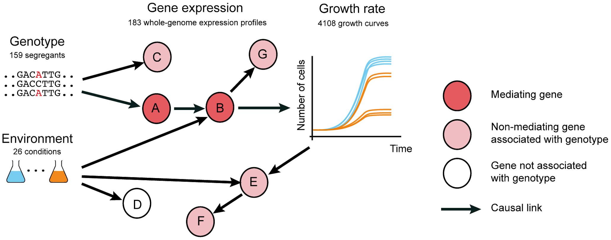 Distinguishing causal intermediate genes between genetic variation and phenotype.