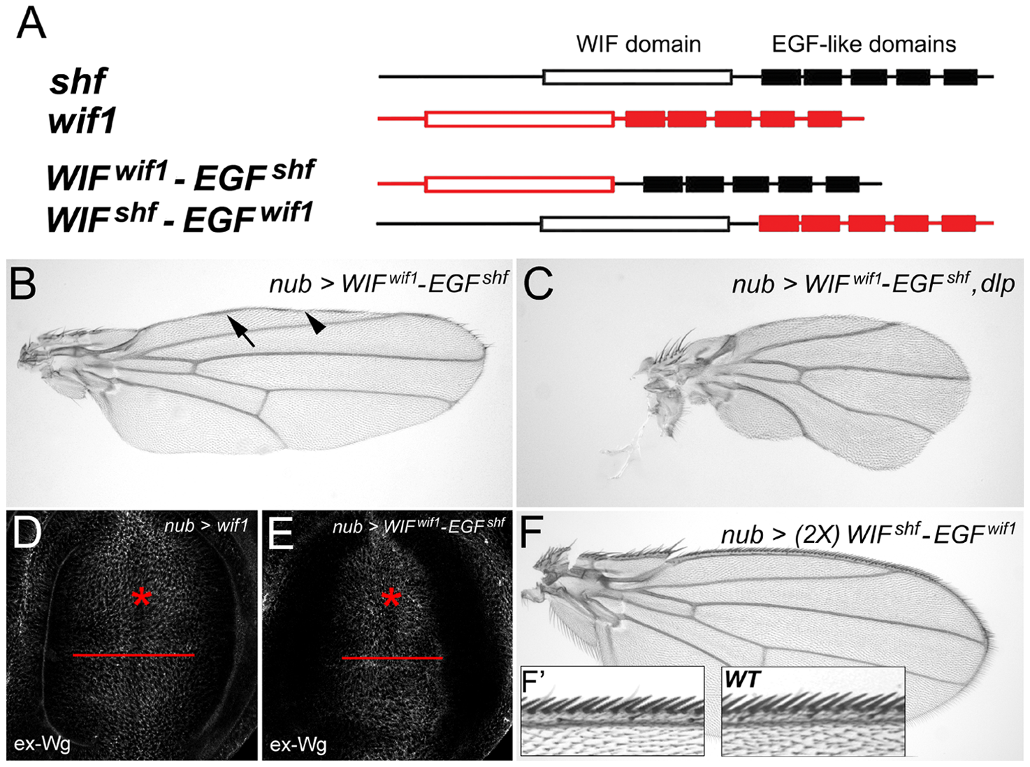 The EGF-like domains are interchangeable between Wif1 and Shf during Wif1-dependent Wg inhibition.