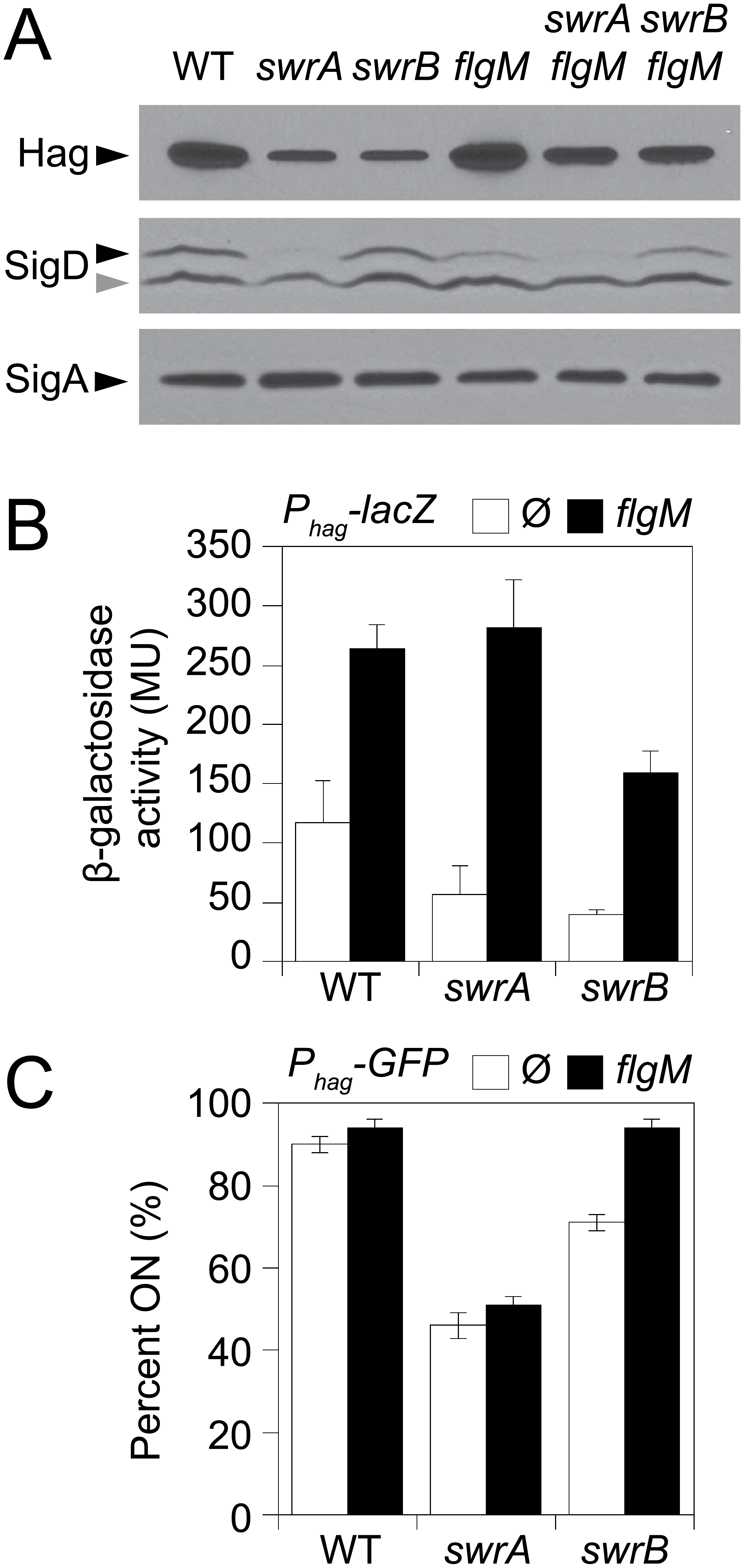 SwrB increases σ<sup>D</sup> activity but not σ<sup>D</sup> protein levels.