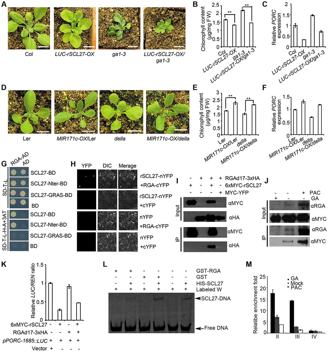 miR171-targeted SCLs mediate DELLA-regulated <i>POR</i> expression in light.