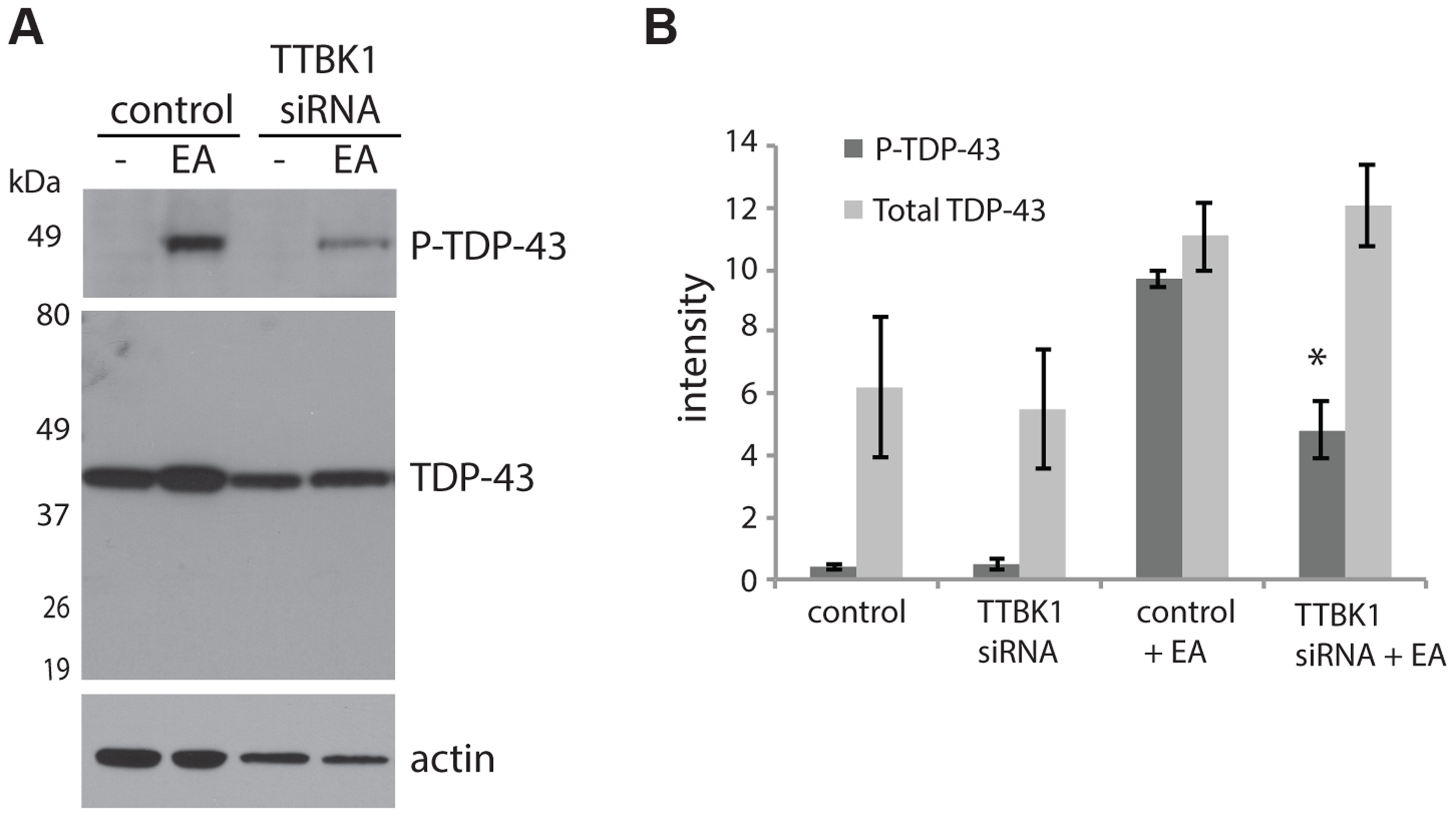 Reduced TTBK1 protects against TDP-43 phosphorylation.