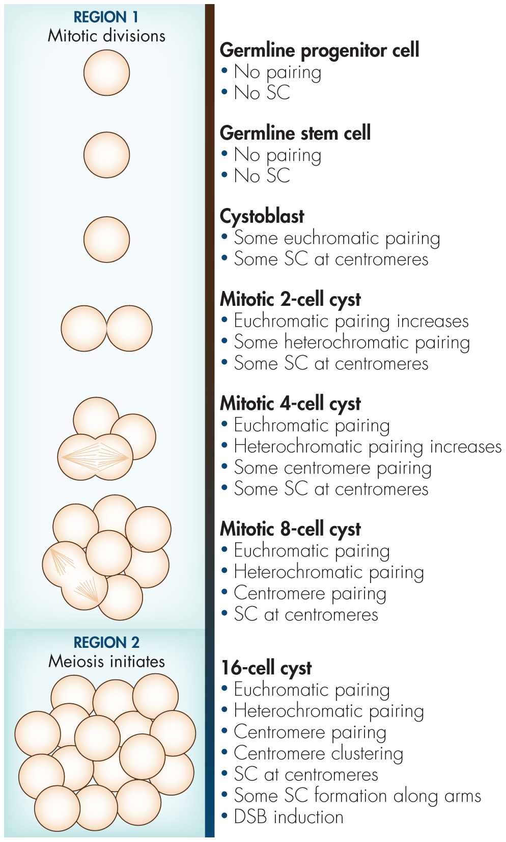Diagram of events in premeiotic germline with respect to autosome pairing, centromere clustering, and SC formation based on the results from Joyce et al. <em class=&quot;ref&quot;>[2]</em> and Christophorou et al. <em class=&quot;ref&quot;>[1]</em>.
