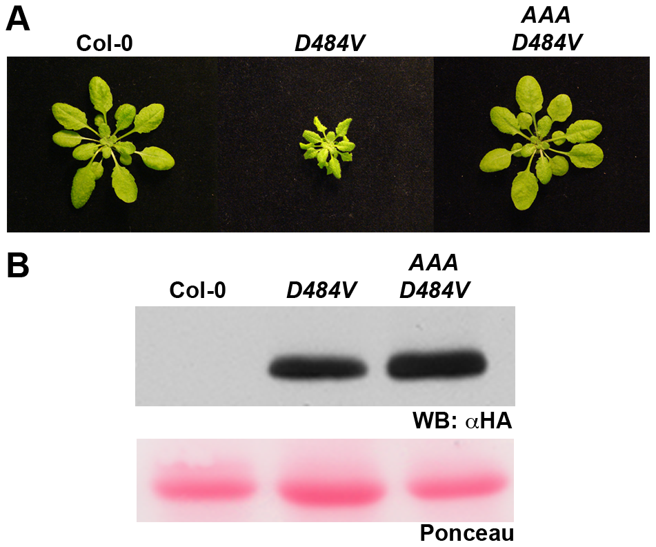 An intact P-loop catalytic domain is required for the <i>ADR1-L2<sub>D484V</sub></i> morphological phenotype.