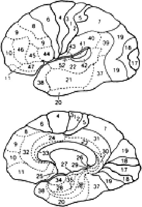 Bromanova cytoarchitektonická mapa korových polí