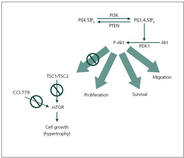 Schéma 1. Schematické znázornění aktivace enzymatické kaskády cestou serin/treoninové kinázy při ztrátě funkce PTEN (phosphatase and tensin homolog deleted on chromosome 10). Za normálních okolností PTEN limituje fosforylaci PI[3,4,5]P<sub>3</sub> (fosfatidylinositol 3,4,5-trifosfát). Pokud není PTEN přítomen, PIP<sub>3</sub> aktivuje fosfoinositidin-dependentní kinázu-1 (PDK1), která fosforyluje serin/treoninovou kinázu (Akt) také známou jako protein kináza B (PKB). Fosforylovaná serin/treoninová kináza (P-Akt) řídí buněčné procesy zahrnující migraci, proliferaci a přežití buňky. P-Akt navíc inhibuje komplex genů tuberózní sklerózy (TSC1/TSC2). Za normálních okolností tento komplex genů inhibuje mTOR (mammalian target of rapamycin). Pokud není mTOR inhibován, jeho zvýšený obsah vede k nekontrolovatelnému buněčnému růstu. Ztráta PTEN zvyšuje množství P-Akt, který výrazně inhibuje komplex genů tuberózní sklerózy, což znamená snížení inhibičního vlivu na mTOR a zvýšení jeho množství pak zapříčiňuje nekontrolovaný buněčný růst. CCI-779 je inhibitor mTOR, jedná se o derivát rapamycinu [2].