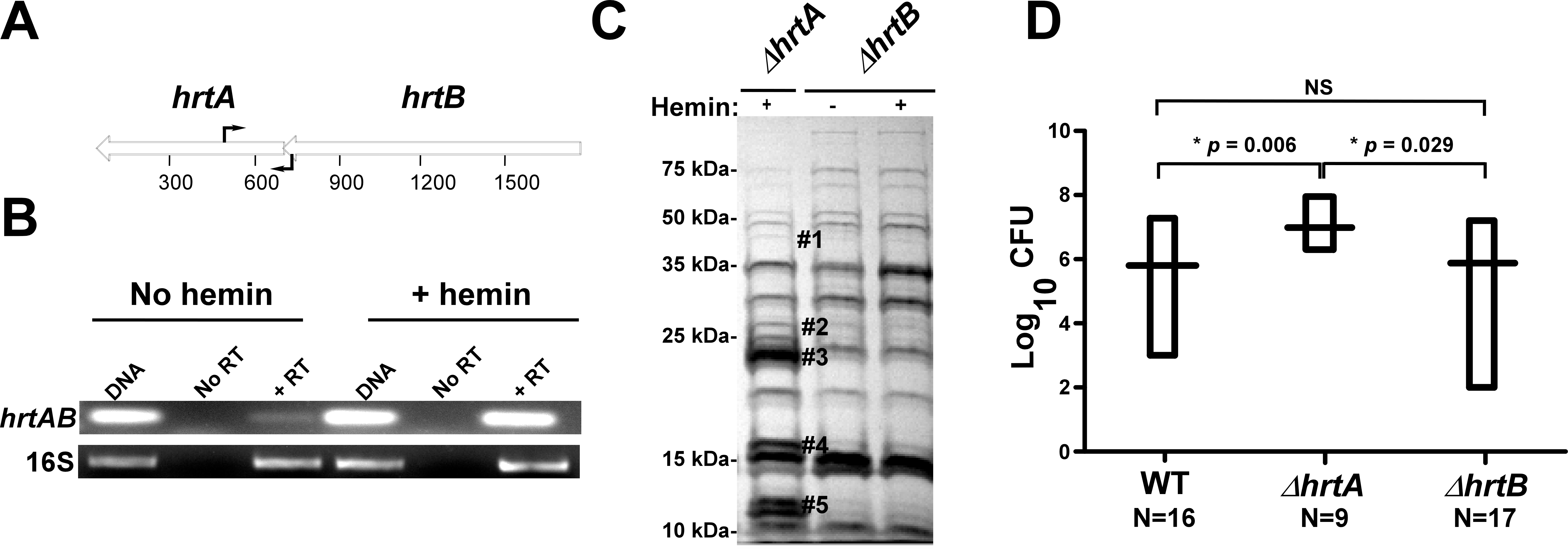 Loss of HrtB alone does not affect protein secretion or virulence in mice.
