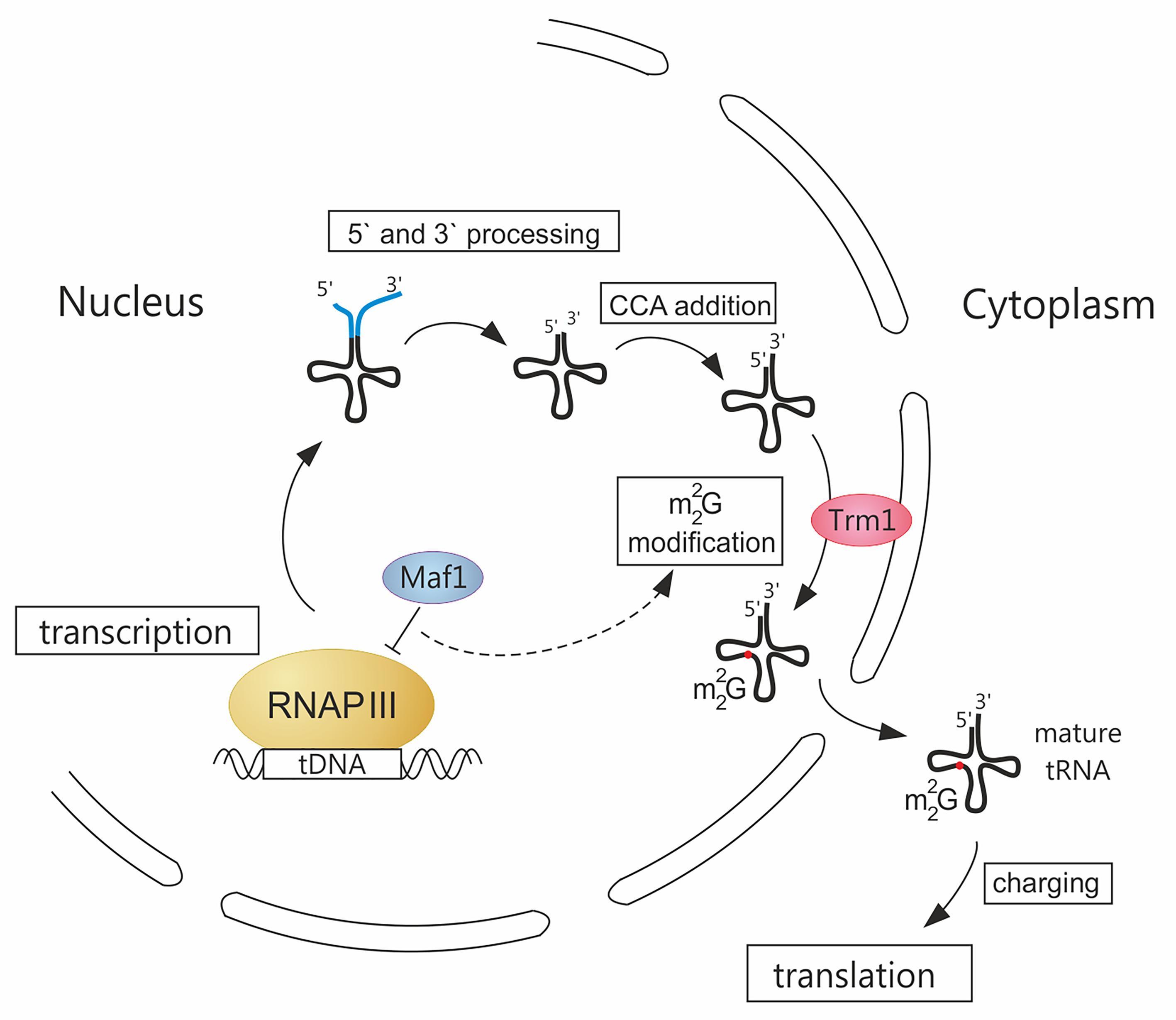 A novel link between RNAP III transcription and tRNA modification.