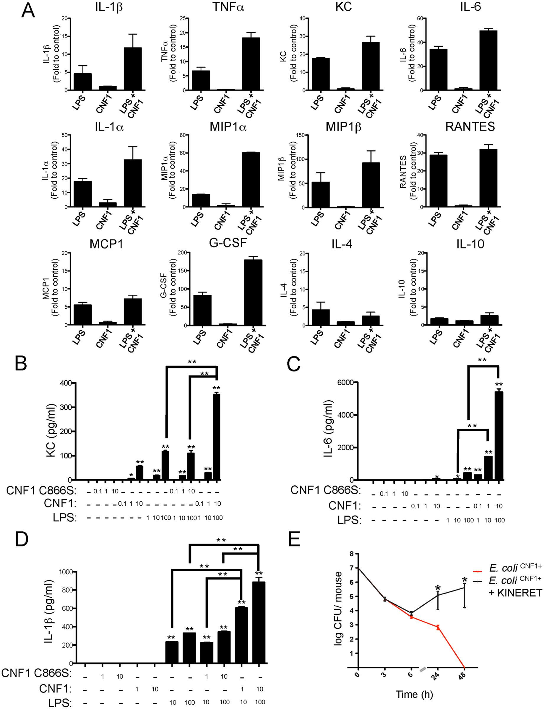CNF1 potentiates LPS-triggered immune responses.