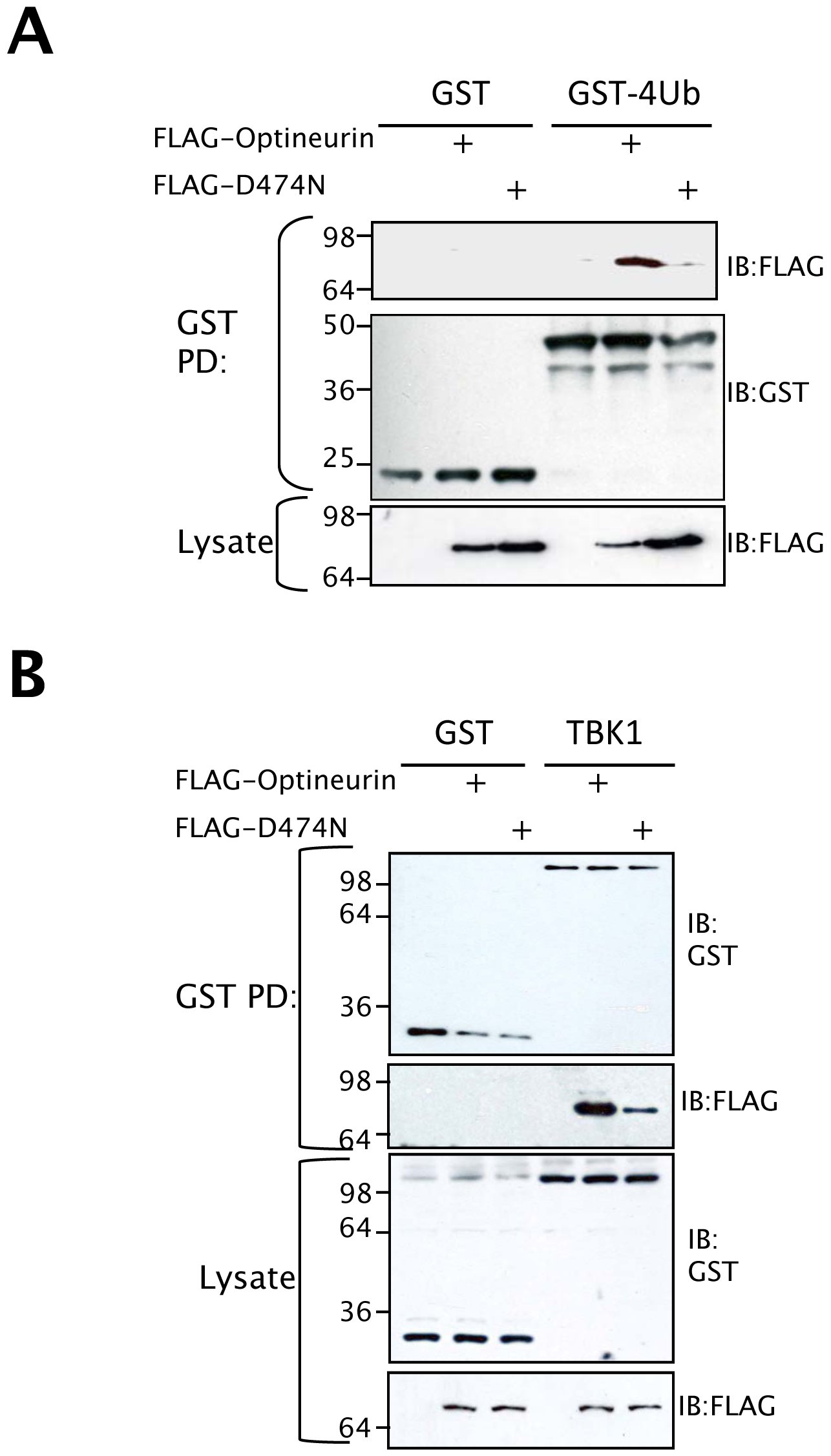 Ubiquitin binding motif of optineurin is required for TBK1 binding.