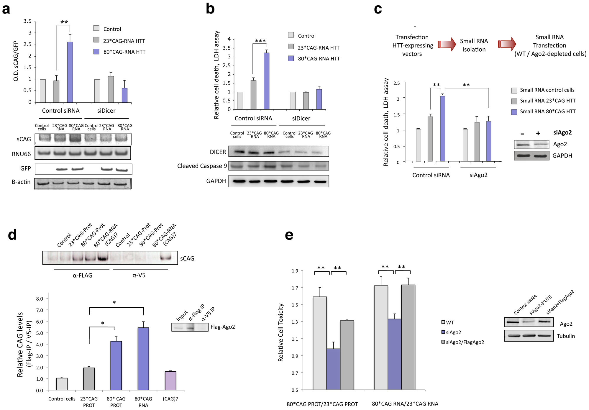 sCAG neurotoxic effect is dependent on Dicer and Ago proteins.