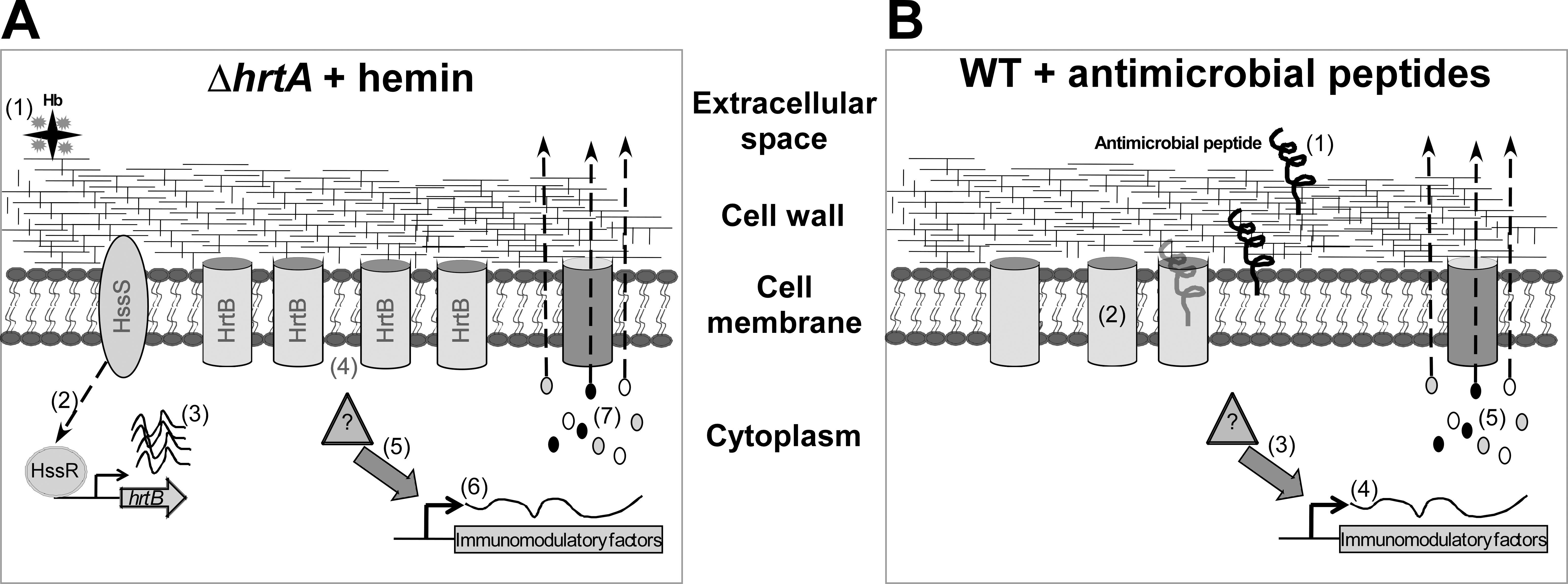 Membrane damage triggers immunomodulatory proteins secretion.