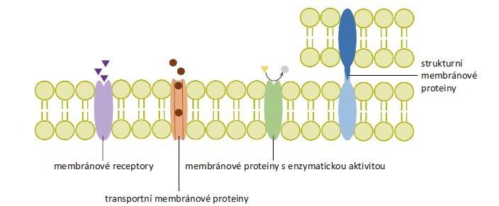 Rozdělení membránových proteinů podle funkce. Membránové receptory přenáší signál z extracelulárního prostoru dovnitř buňky po navázání ligandu. Transportní membránové proteiny tvoří hydrofilní kanály procházející cytoplazmatickou membránou, k přenosu látek mohou využívat energii z hydrolýzy adenozintrifosfátu. Membránové proteiny s enzymatickou aktivitou se podle polohy enzymaticky aktivního místa mohou označovat jako ektoenzymy či endoenzymy (na obrázku znázorněn ektoenzym). Strukturní membránové proteiny zajišťují protein-proteinové a protein-lipidové interakce.