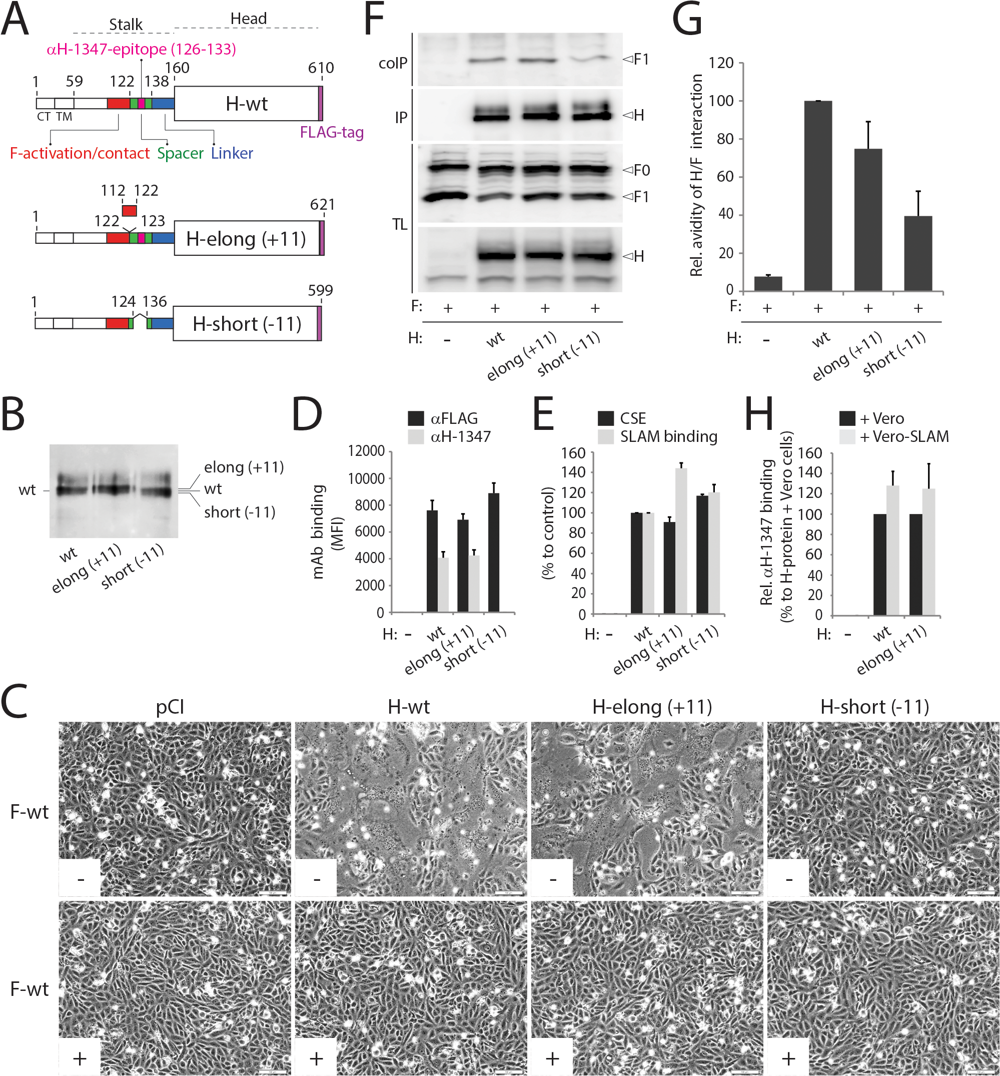 Functional and biochemical characterization of stalk-elongated and shortened engineered H variants.