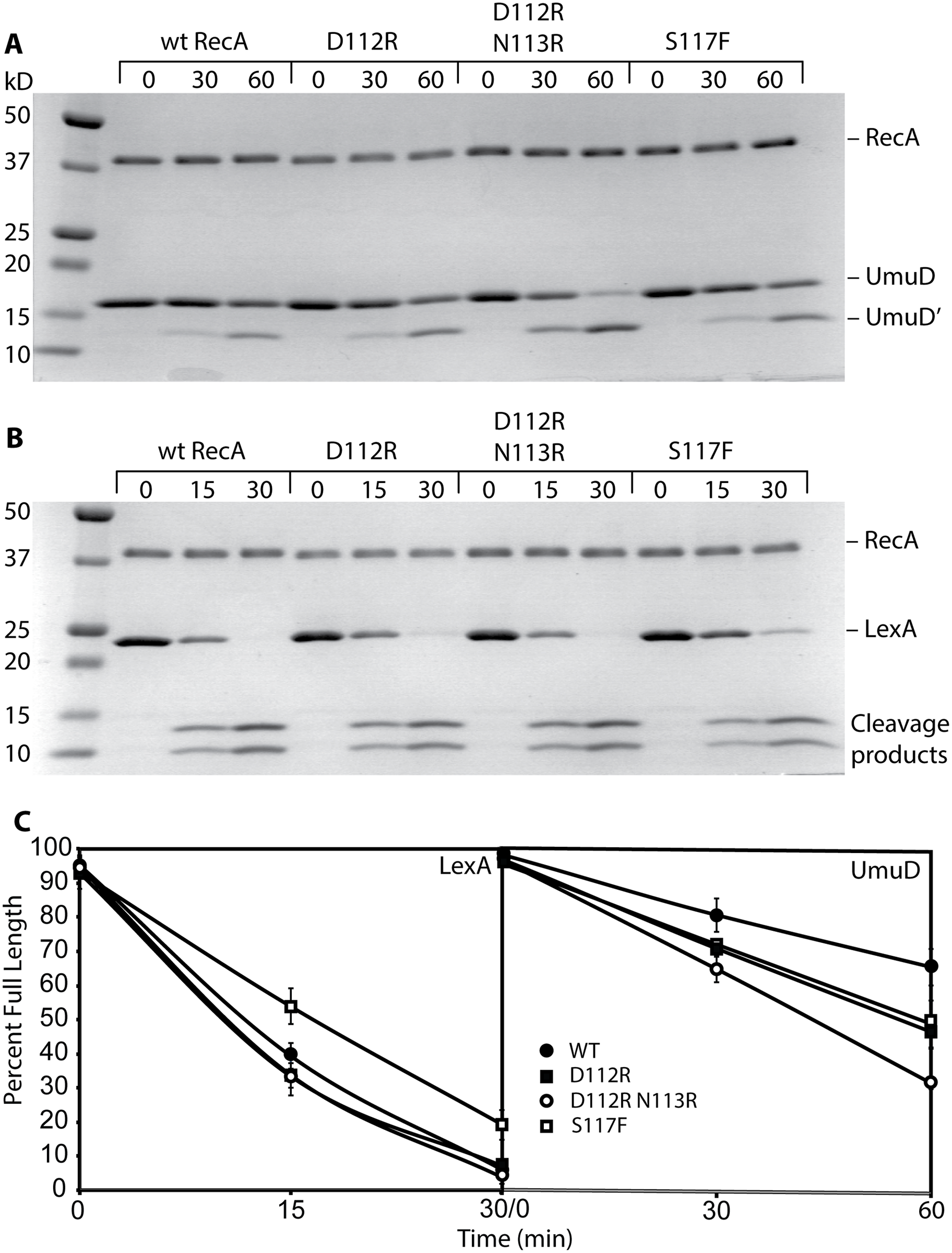RecA D112R and RecA D112R N113R promote autocatalytic cleavage of LexA and UmuD <i>in vitro</i>.