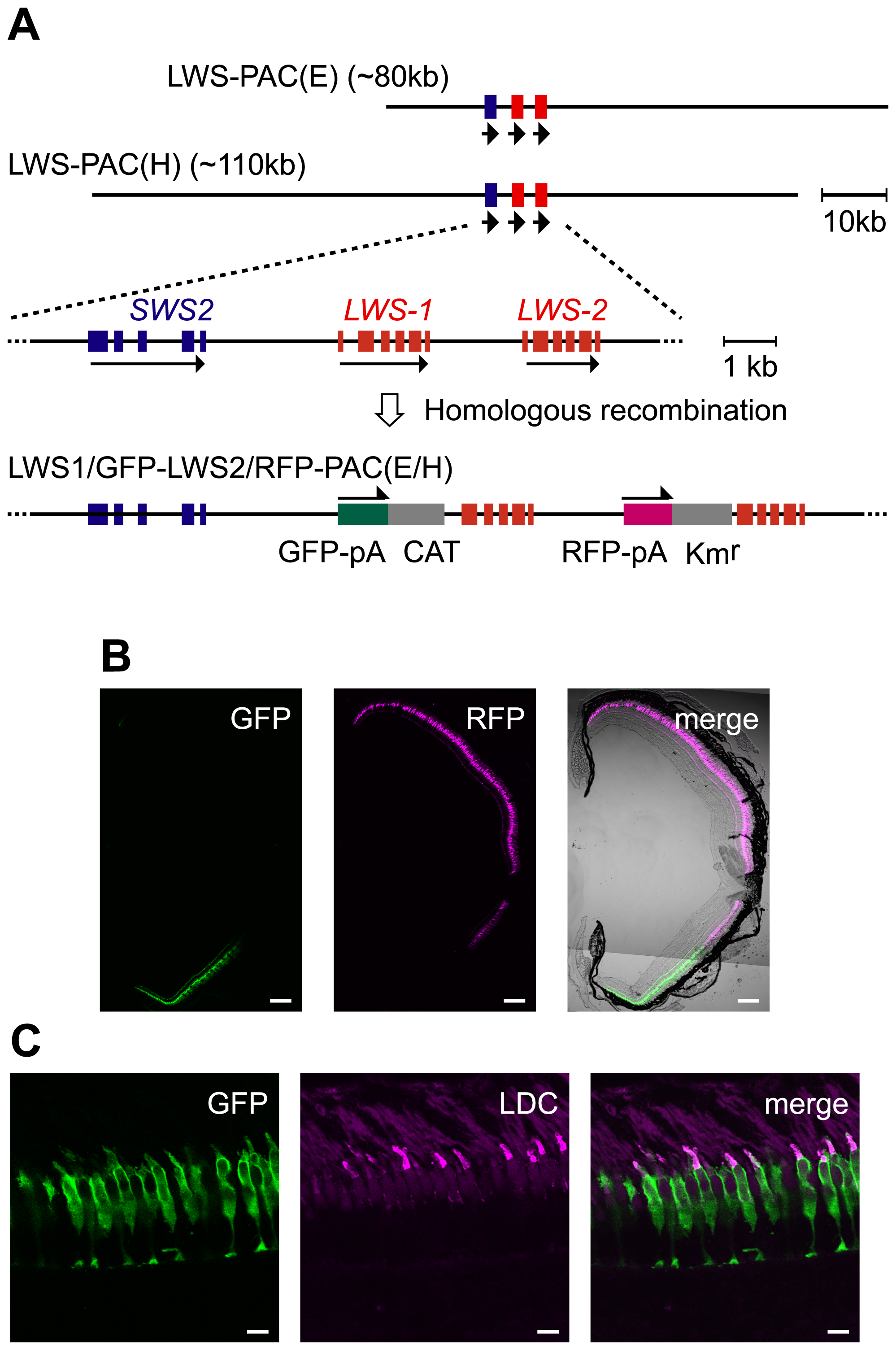 Recapitulation of the <i>LWS-1</i> and <i>LWS-2</i> expression in the zebrafish retina by the fluorescent markers in the PAC clones.