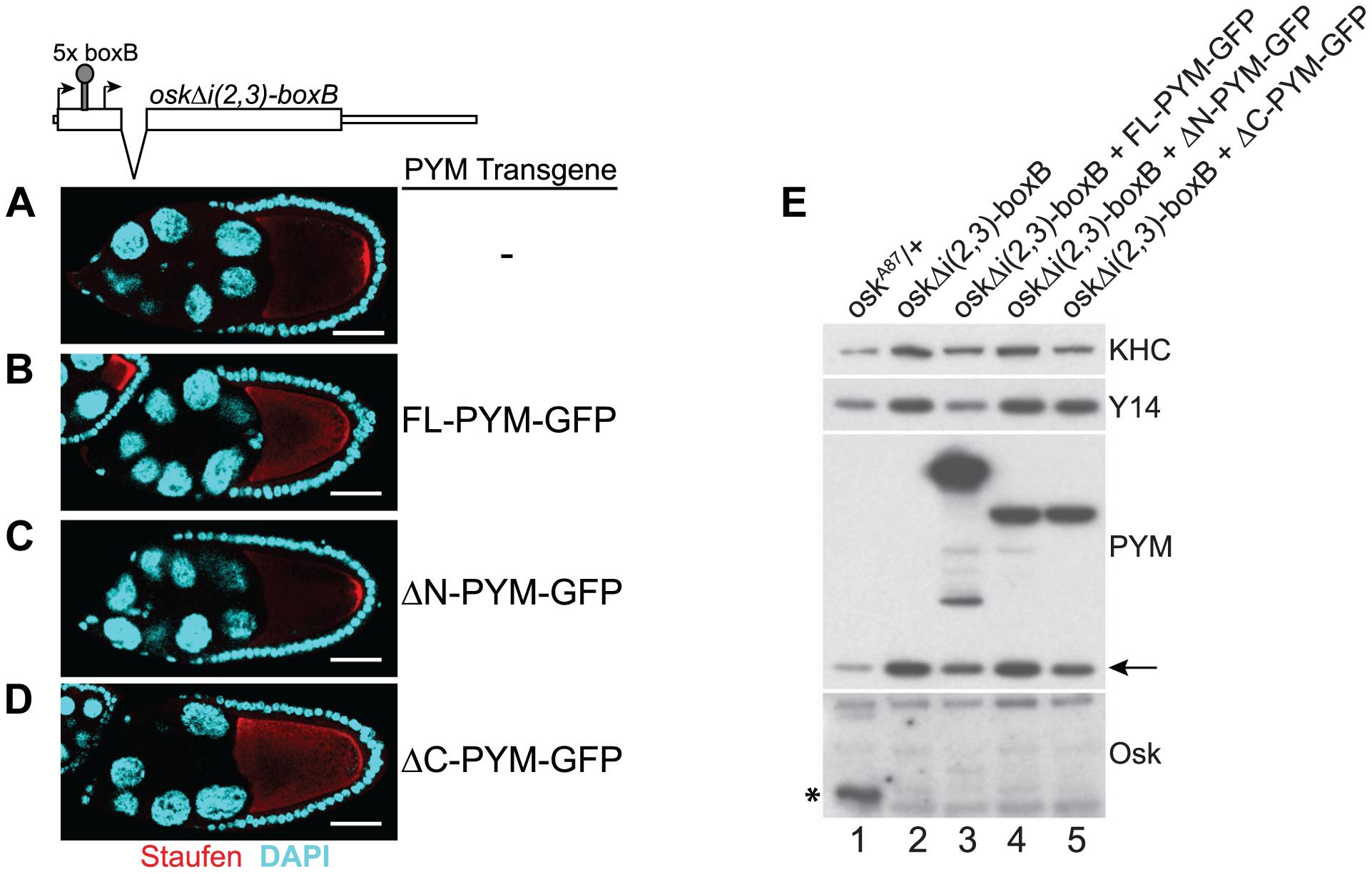 PYM disassembles EJC from a non-translatable <i>oskar</i> mRNA.