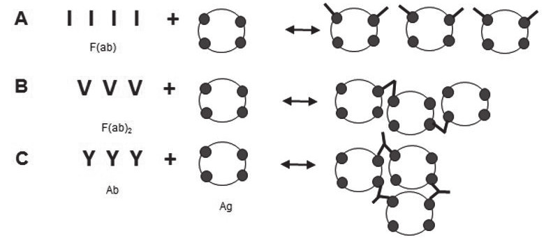 Fig. 2. Binding and crosslinking
