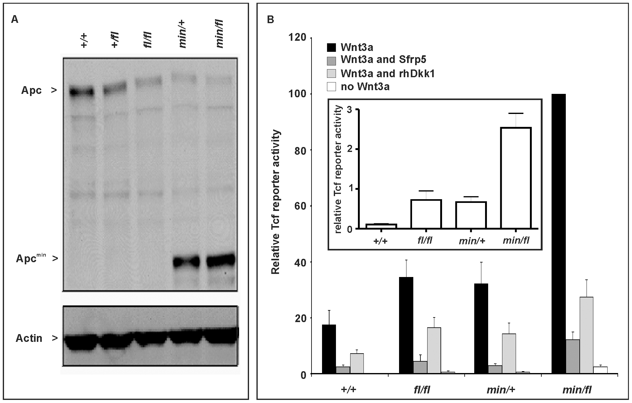 Apc protein expression levels and Wnt/β-catenin pathway activation in primary mouse embryonic fibroblasts (MEFs).
