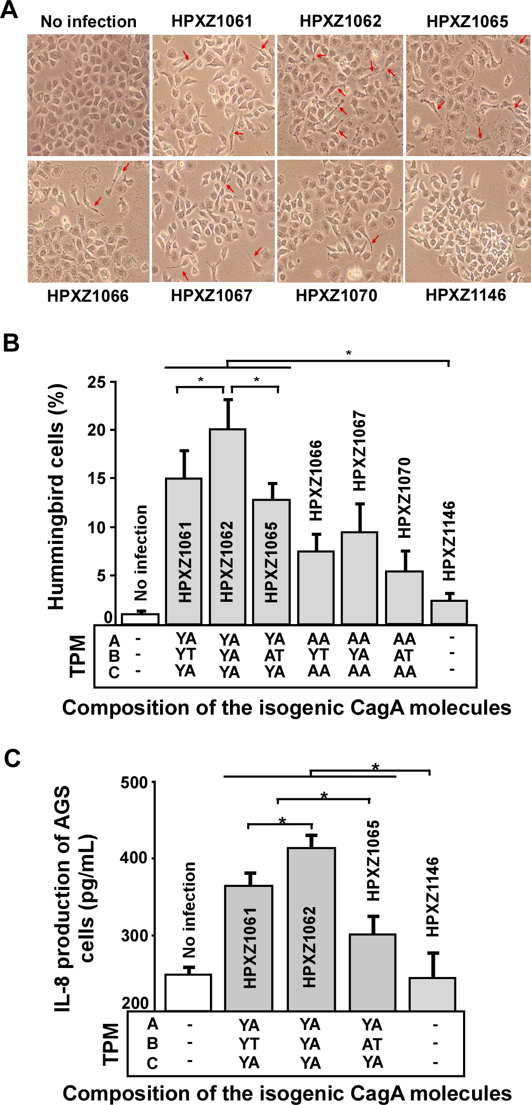 Analysis of the hummingbird phenotype and IL-8 induction after co-culture of human AGS cells with isogenic <i>H. pylori</i> strains containing the engineered CagA molecules.