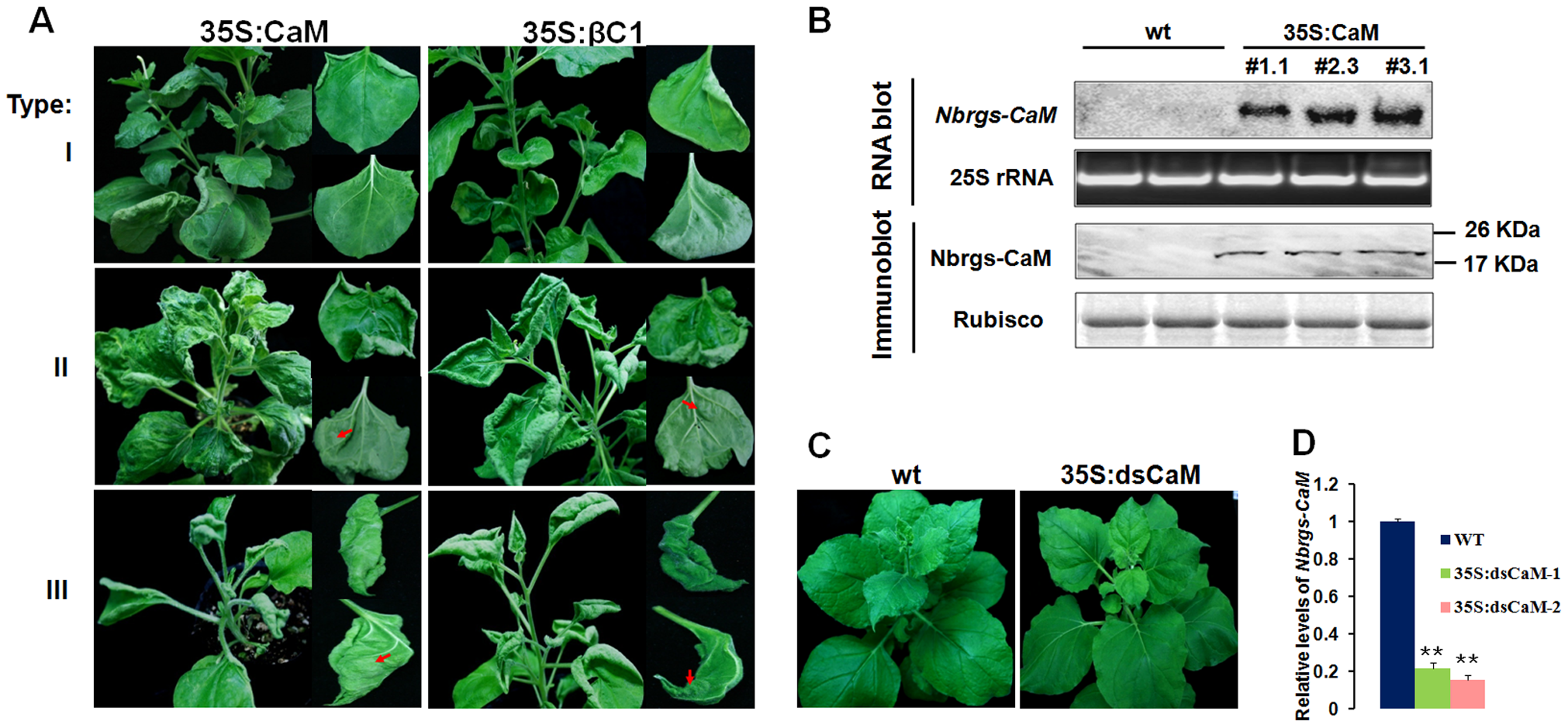 Ecotopic expression of <i>Nbrgs-CaM</i> in <i>Nicotiana benthamiana</i> phenocopys βC1 transgenic plants.