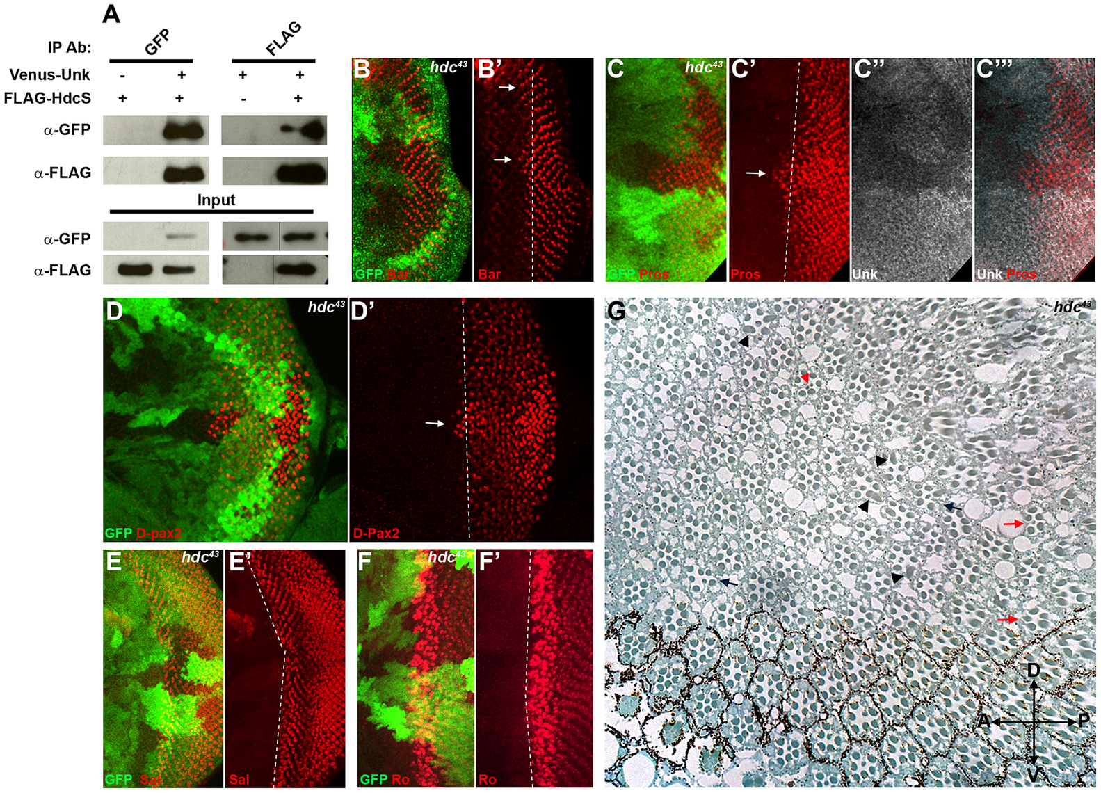 Hdc physically interacts with Unk and negatively regulates neurogenesis.