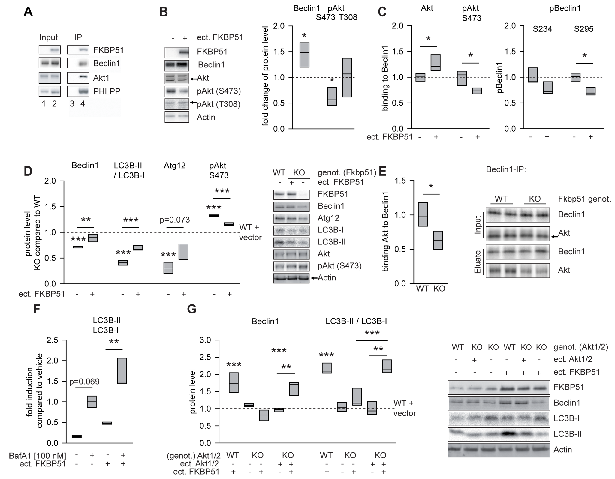 FKBP51 directs autophagic pathways.