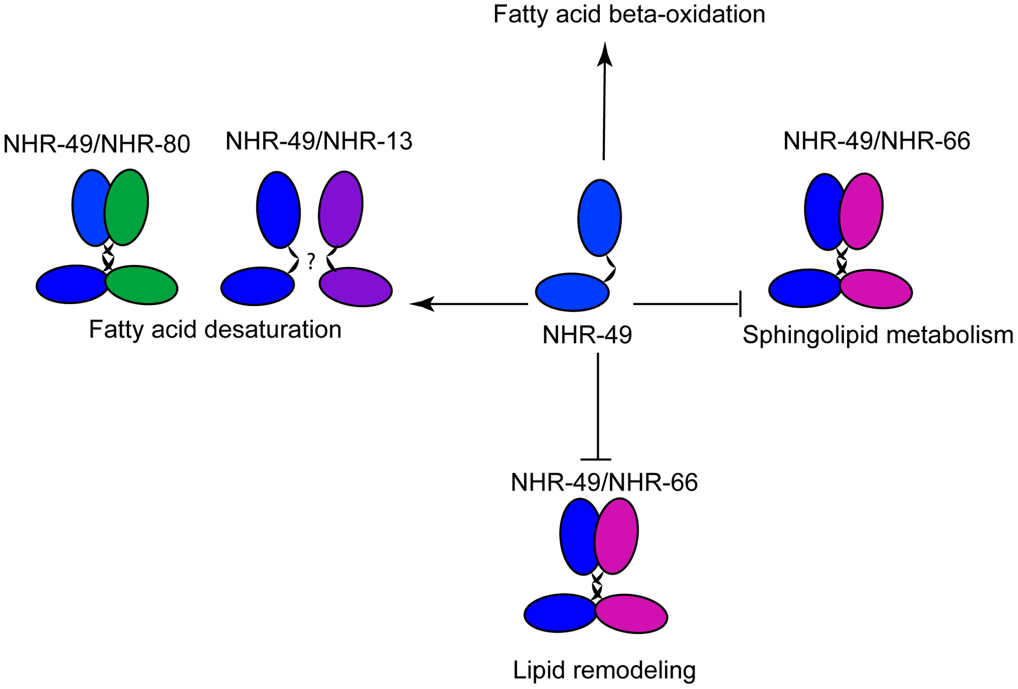 Model of NHR-49–dependent regulation of lipid metabolism.