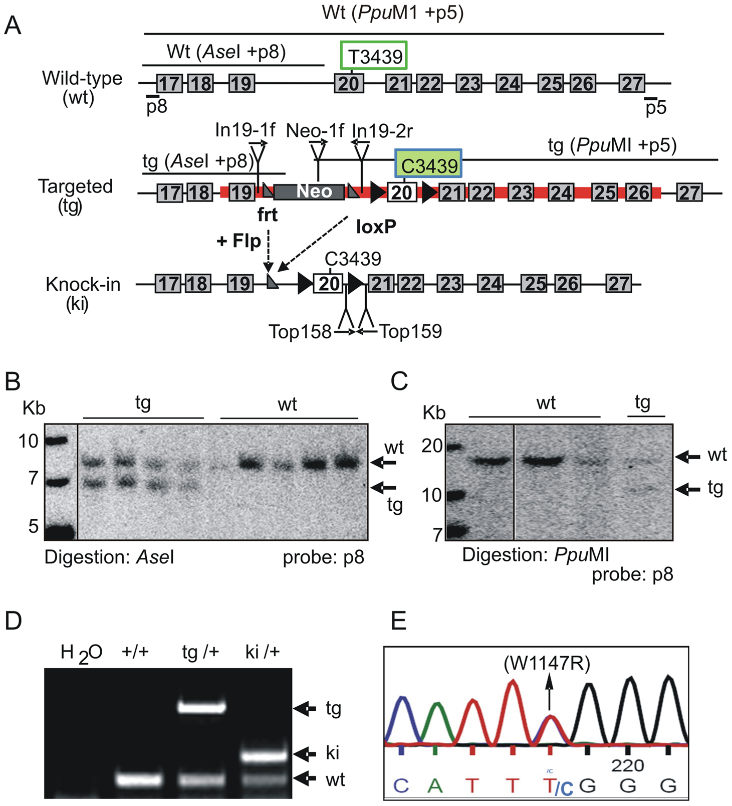 Generation of TopBP1 AAD mutant transgenic mice.