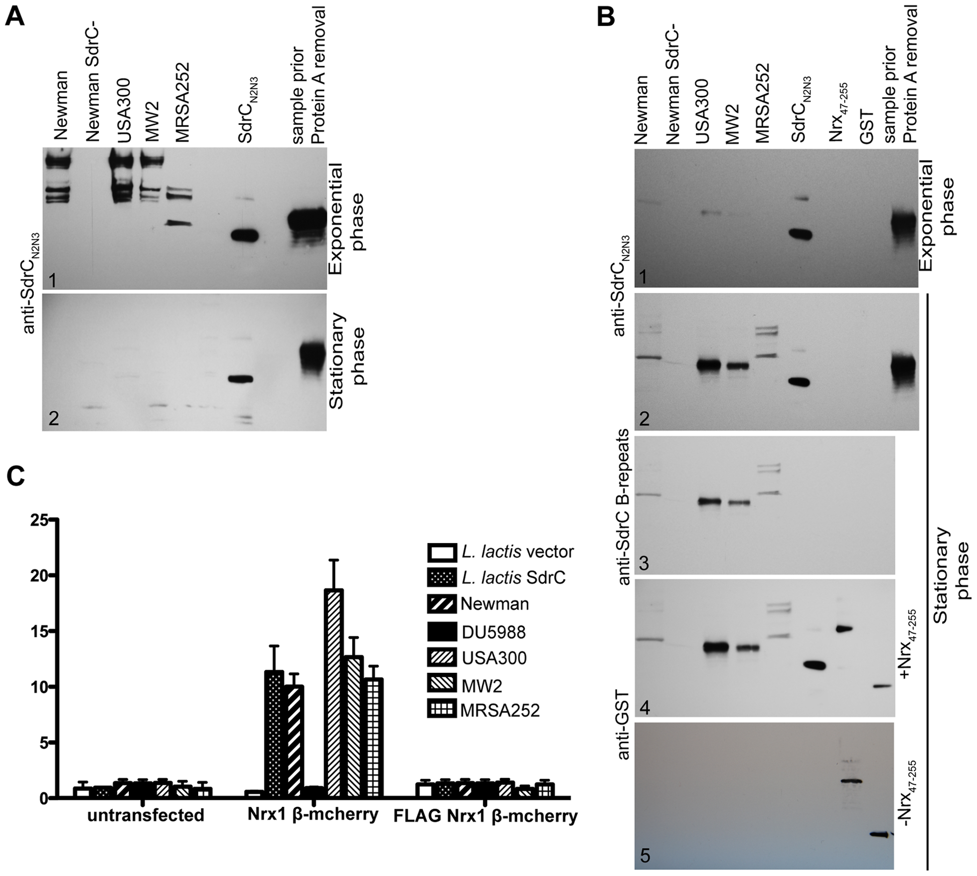 SdrC mediates <i>S. aureus</i> clinical isolates adherence to Nrxβ expressing cells.