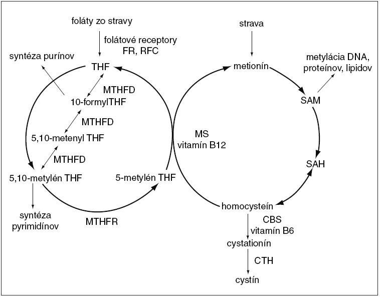 Ilustračná schéma prepojenia metabolického cyklu folátov a homocysteínu. <em>FR – folátový receptor, RFC – redukovaný prenášač folátov, THF – tetrahydrofolát, MTHFD – metyléntetrahydrofolát dehydrogenáza, MTHFR – 5,10-metylén-THF reduktáza, SAM – S-adenozyl-L-metionín, SAH – S-adenozyl-homocysteín, MS – metionín syntáza, CBS – cystation-β syntáza (upravené podľa [40]).</em>