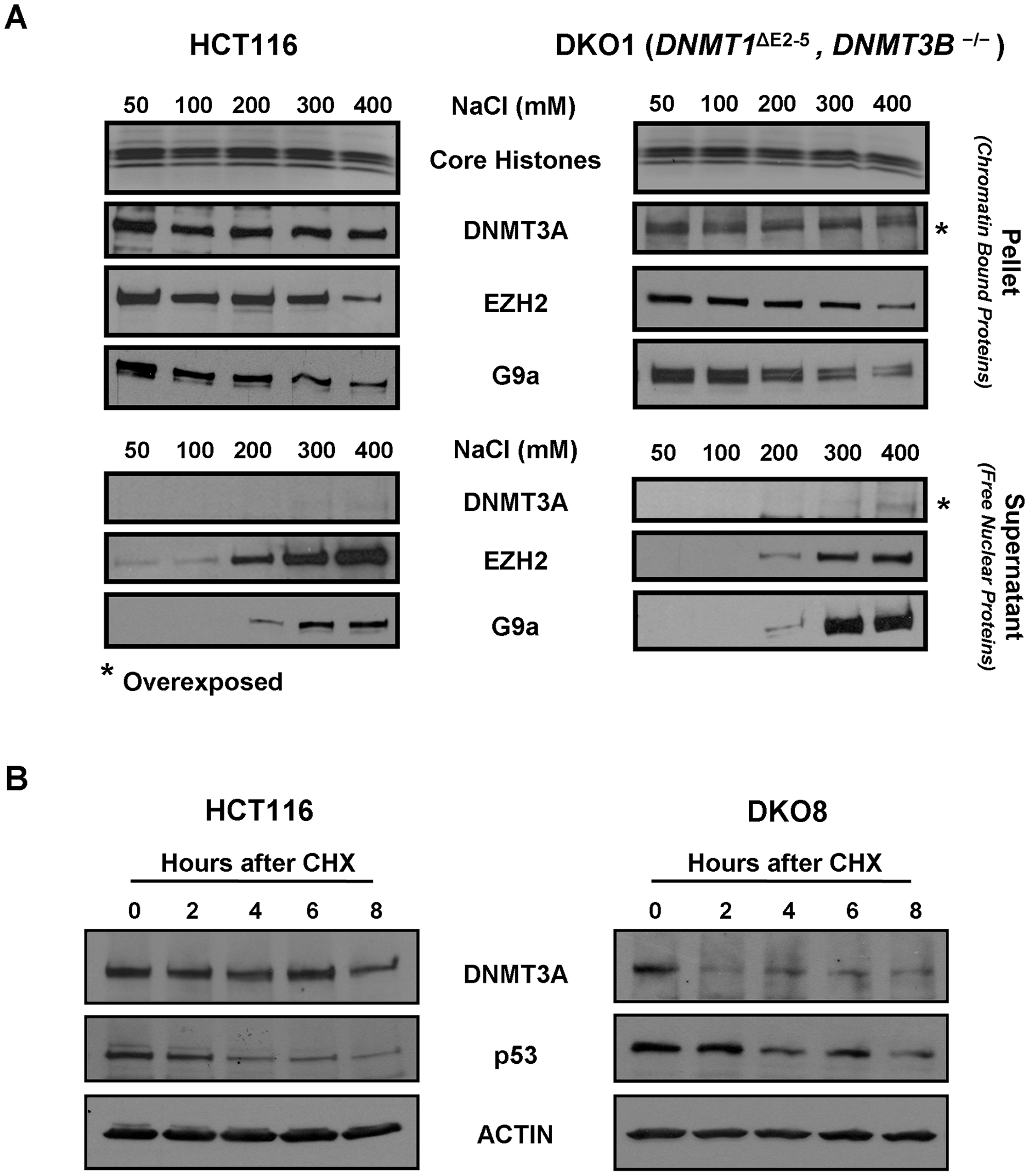 DNMT3A chromatin binding affinity and protein stability in WT HCT116 and DKO cells.