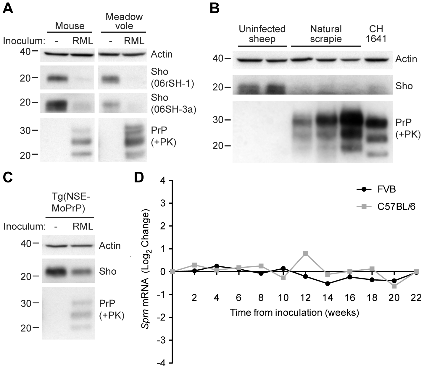 Decreased Sho protein levels in the brain during experimental and natural prion disease.